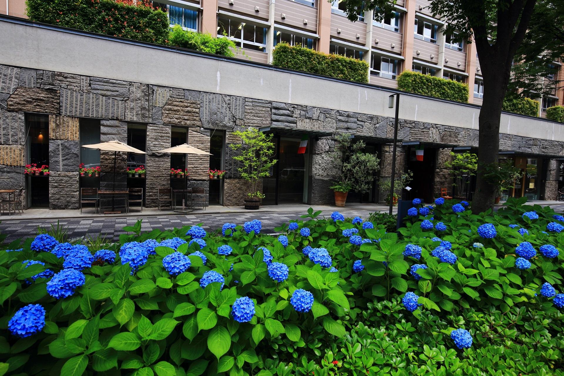 御池通 紫陽花 お洒落で鮮やかなブルーのアジサイ