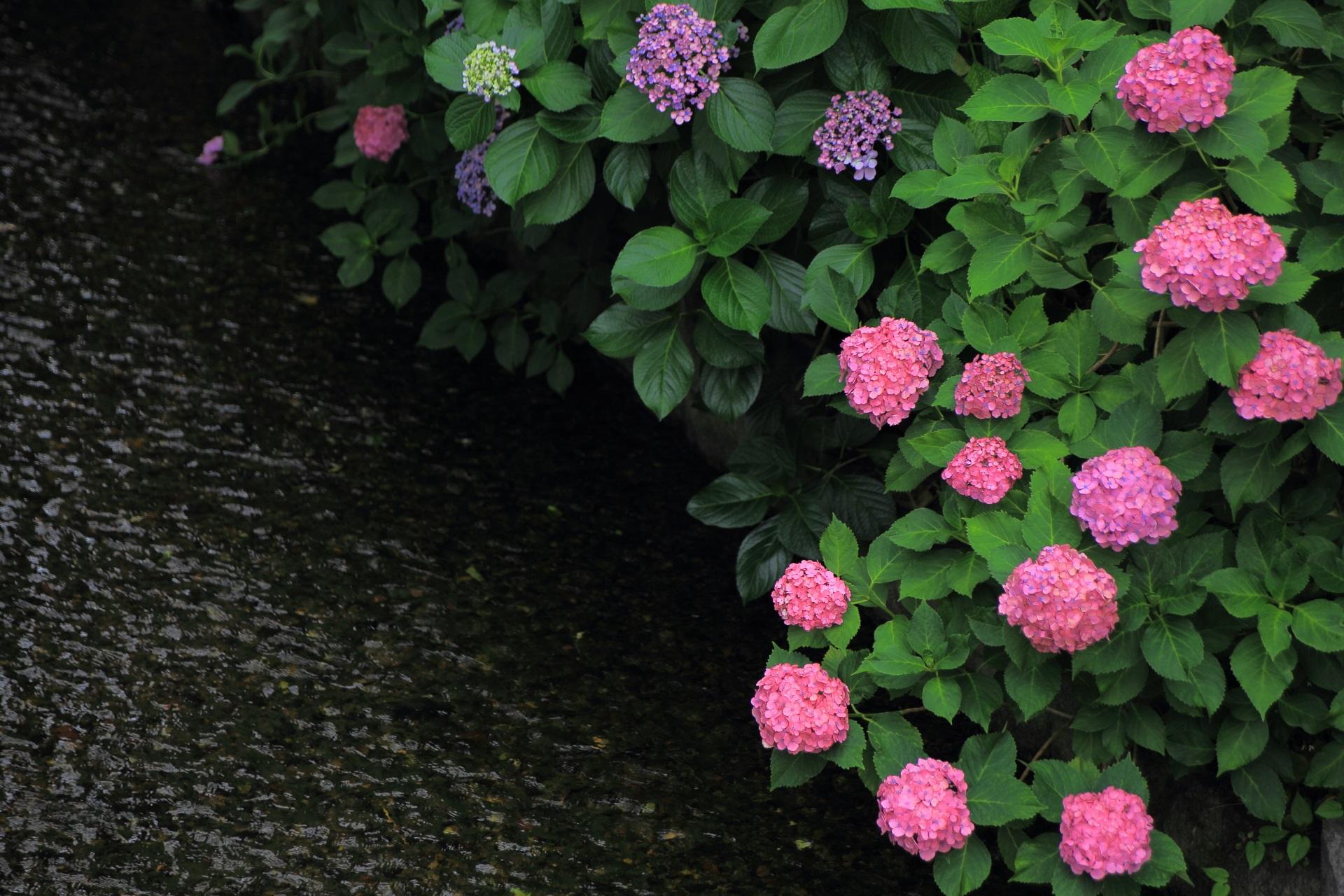 高瀬川 紫陽花 水辺の鮮やかな彩り