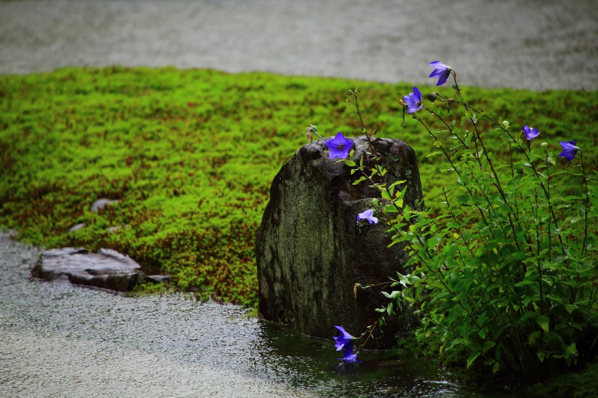 雨にも負けず凛として咲く光明院のキキョウの花