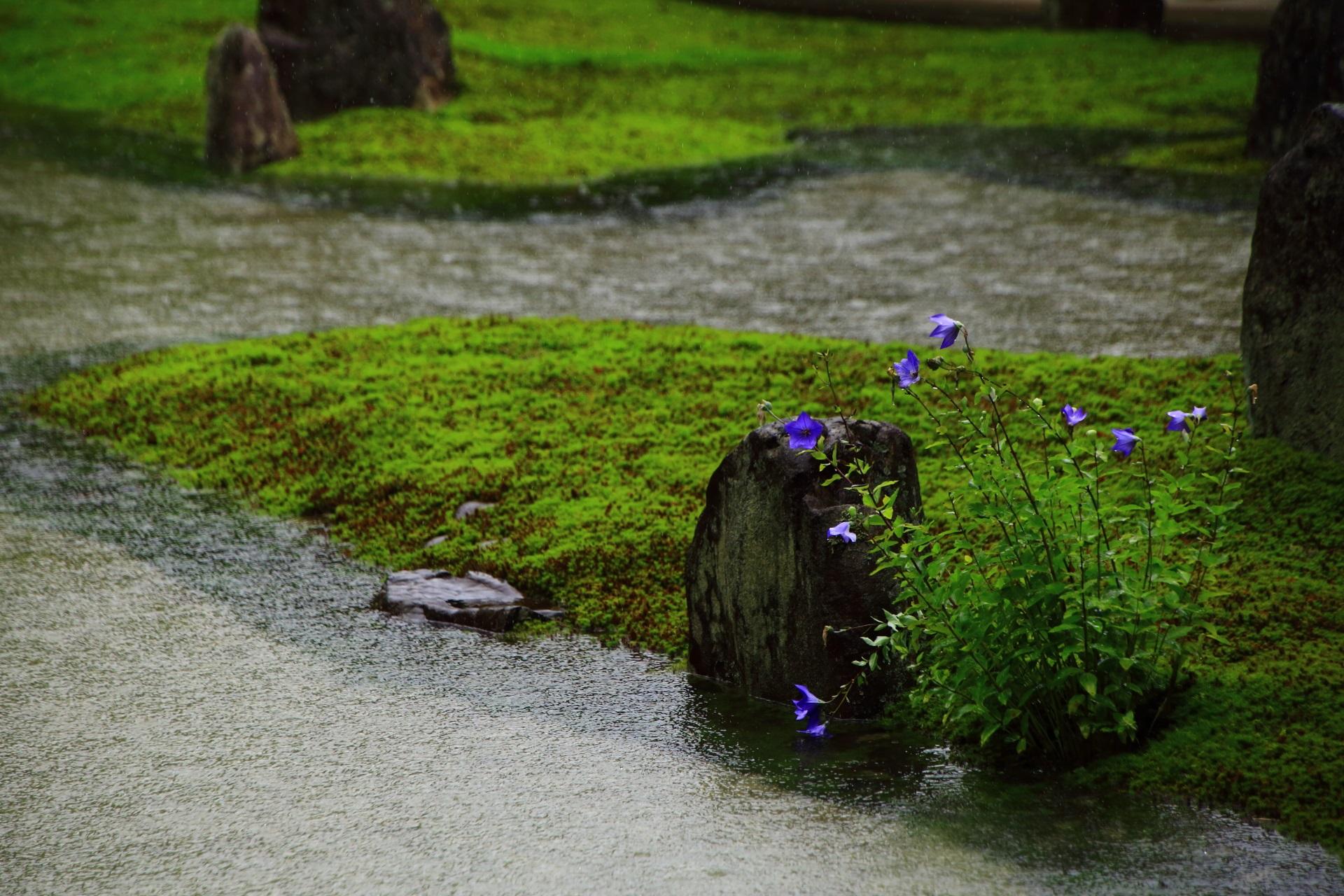 光明院の池の畔でしっとりと咲くキキョウの花