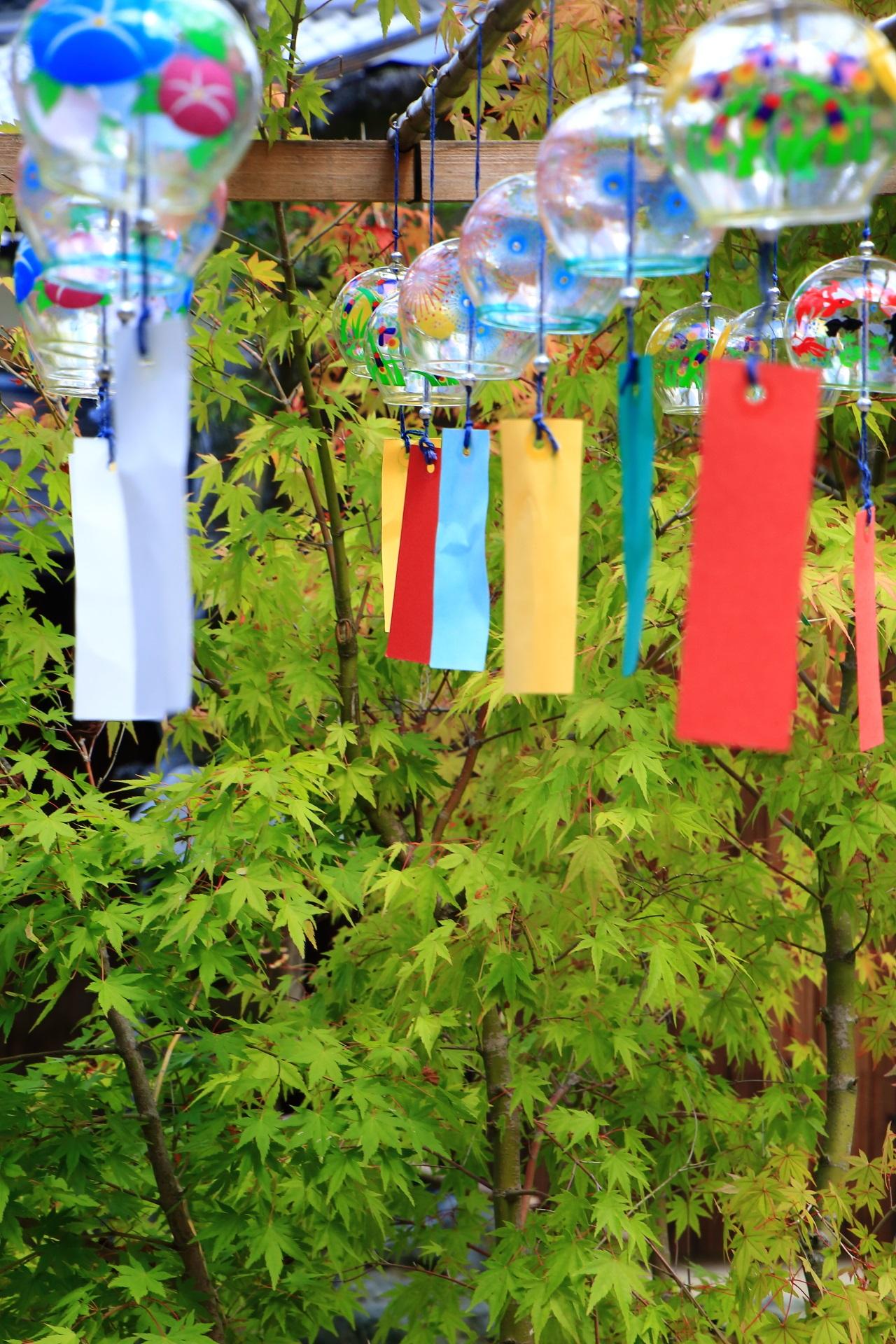 正寿院の風鈴と美しい青もみじ