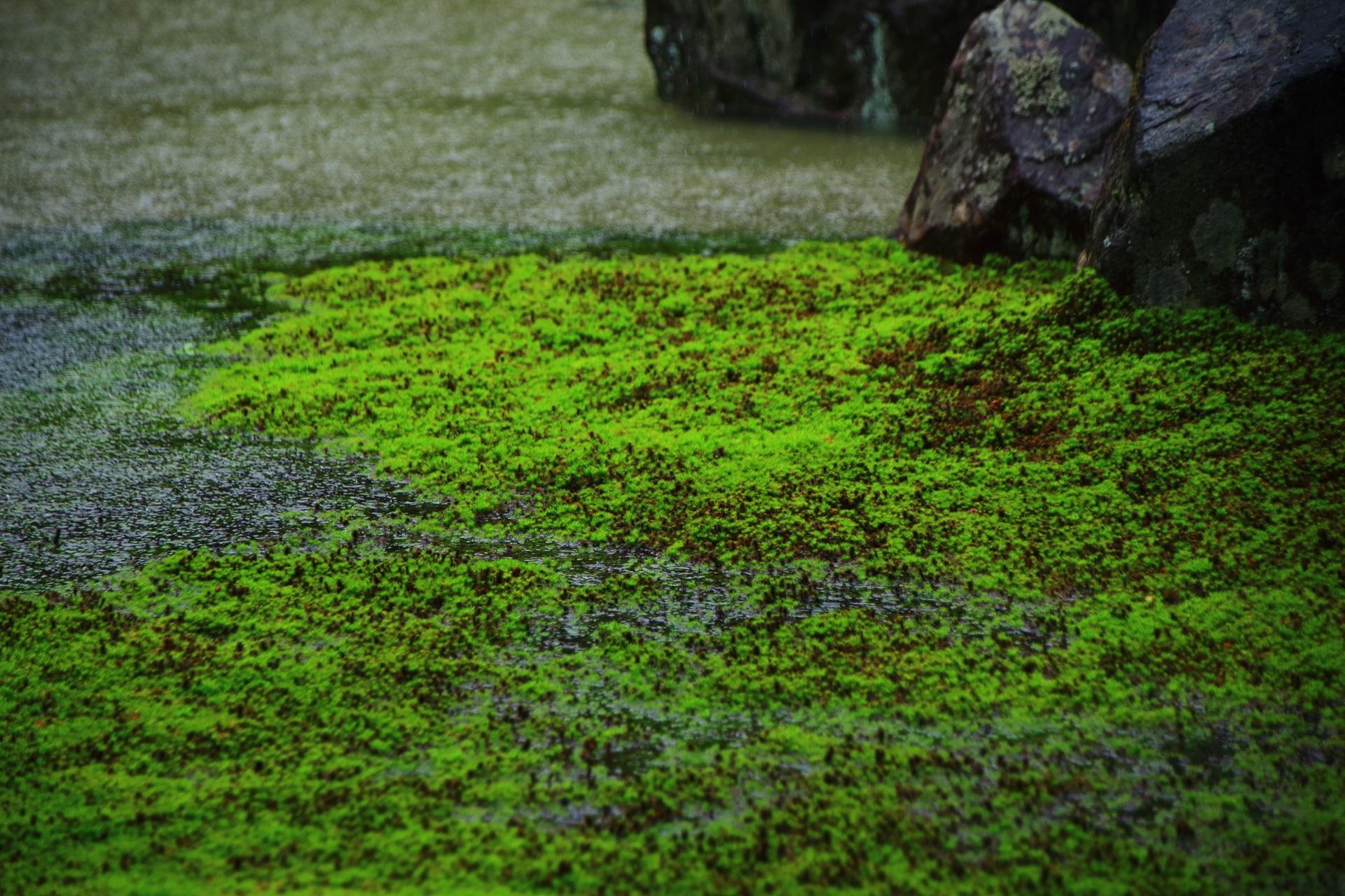 雨で潤い生き生きする光明院の鮮やかな苔