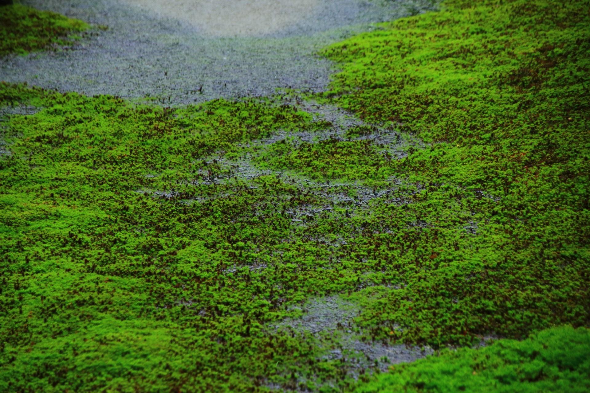 苔の上を静かに流れる光明院の雨の小川