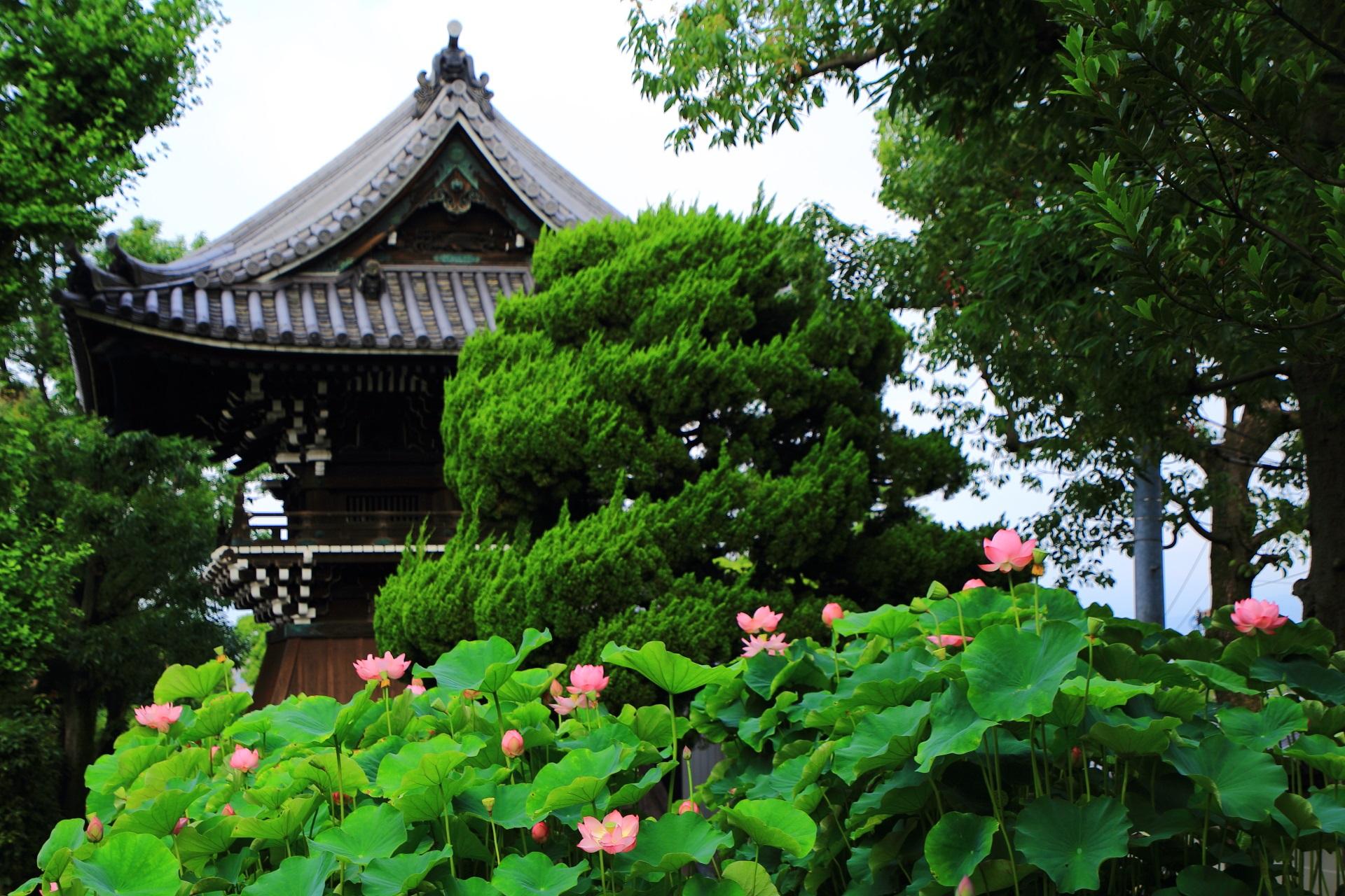 大谷本廟 ハスの花 受け継がれる古代の蓮
