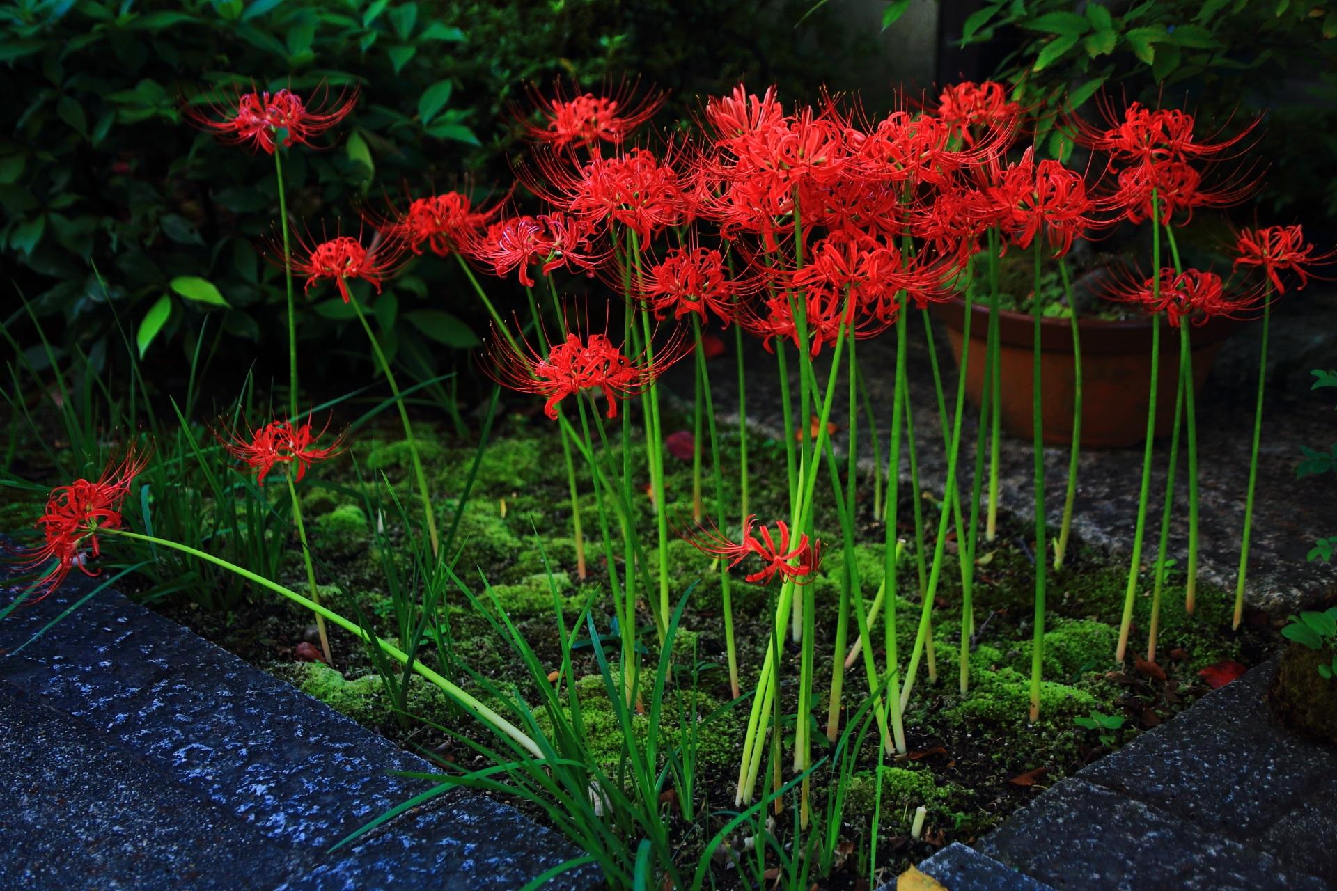 妙蓮寺の素晴らしい彼岸花や芙蓉の花
