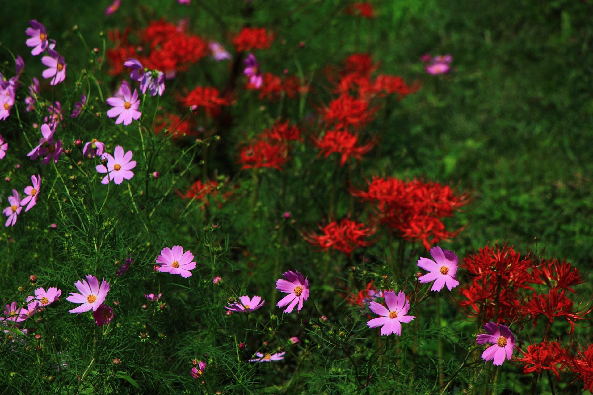 いろんな場所に華やかに咲くコスモスと赤い彼岸花
