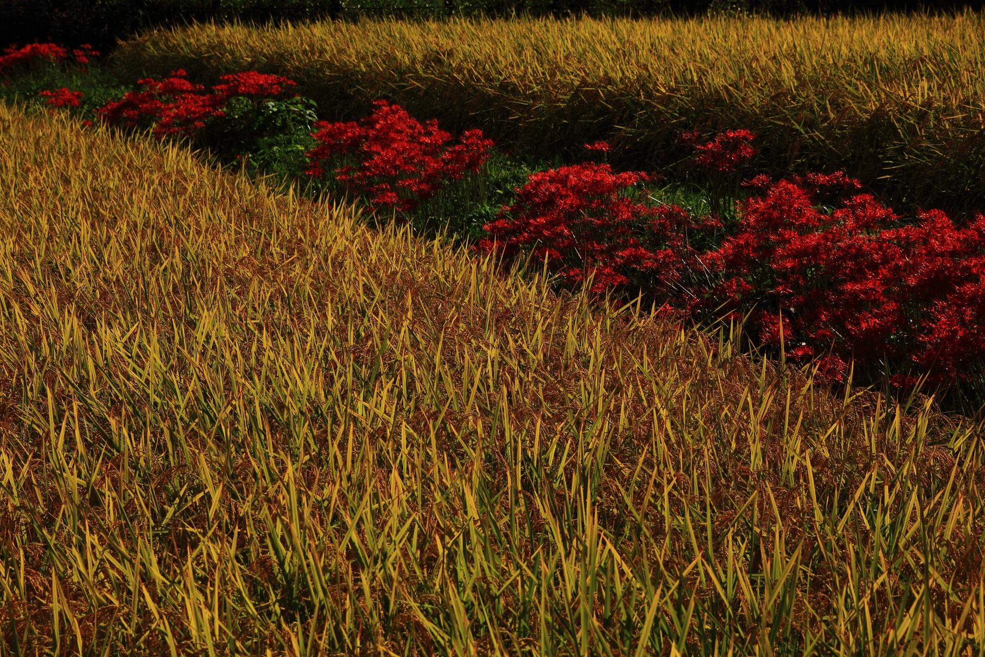 北嵯峨の素晴らしい彼岸花と稲穂や初秋の情景