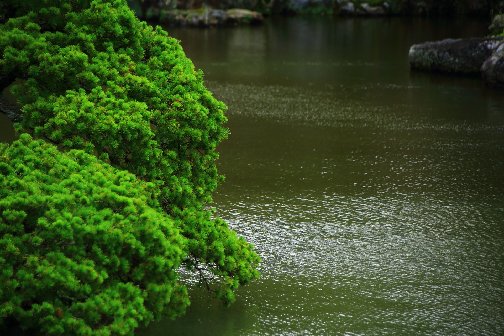 水辺の美しい緑の松