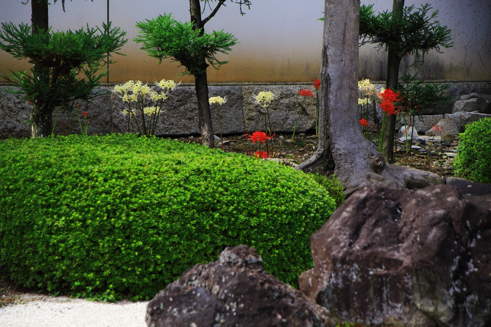 十六羅漢石庭の鮮やかな赤色と華やかな白色の紅白の彼岸花