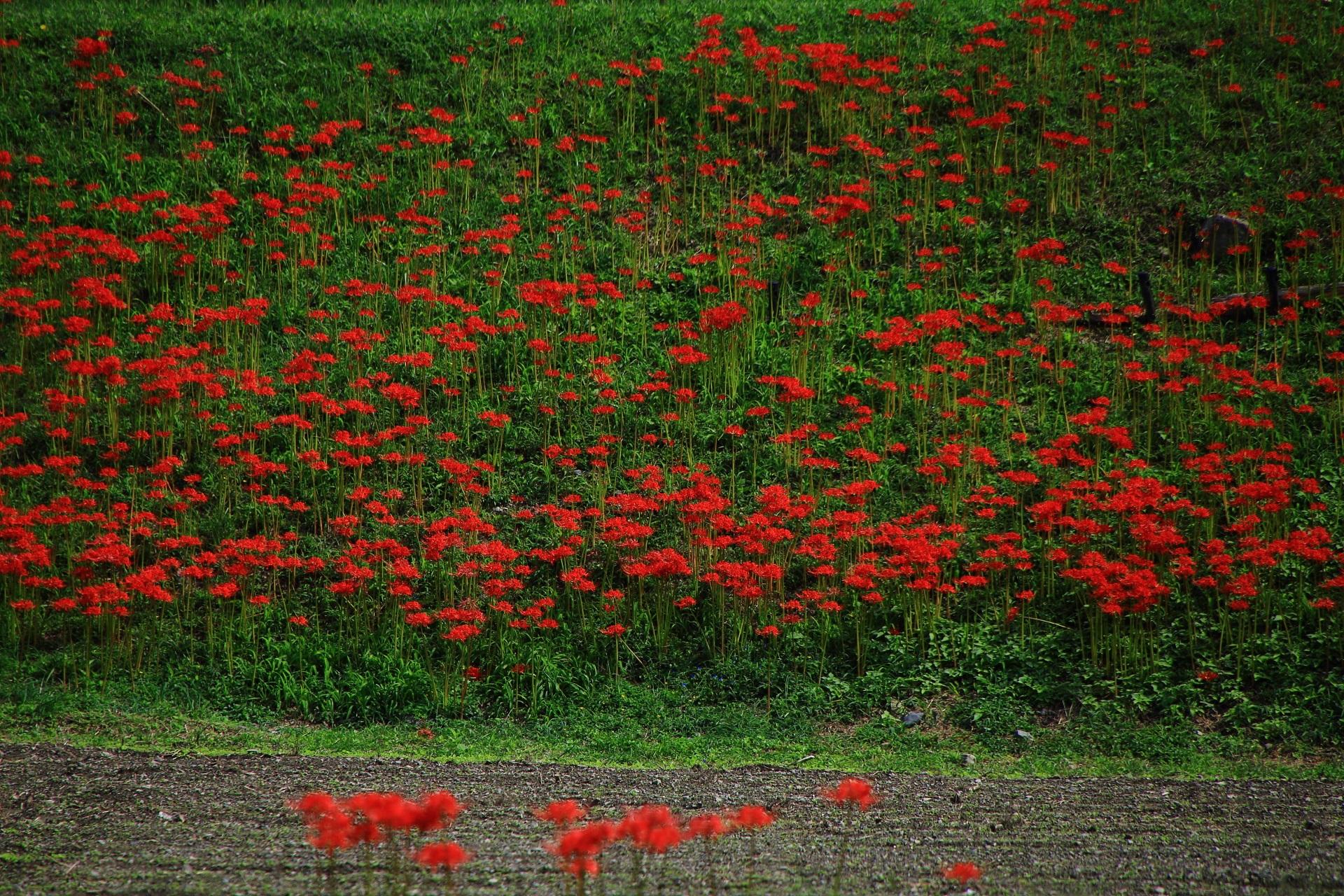 緑を彩る彼岸花の赤い彩り