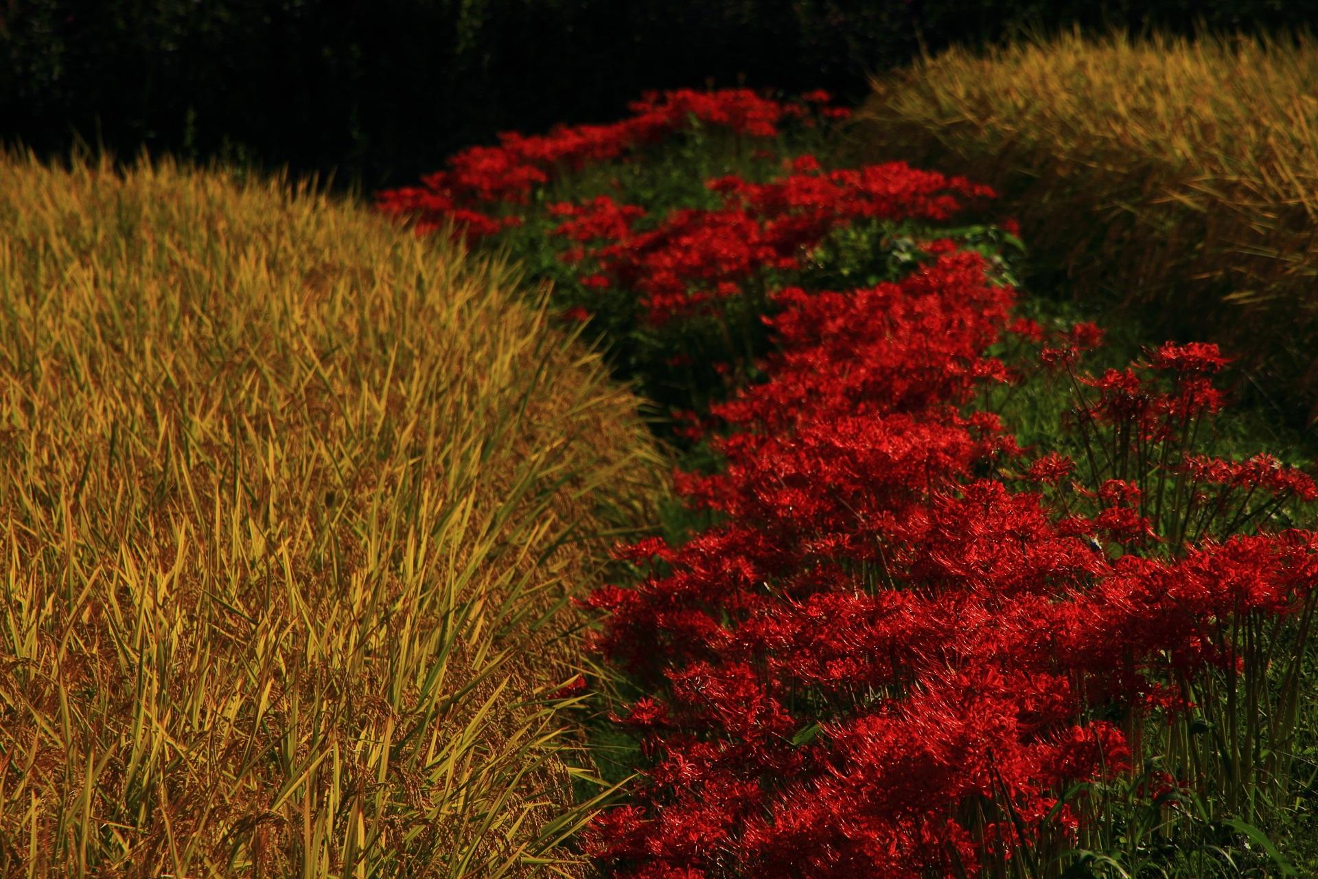 お彼岸のころに咲く満開の真っ赤な彼岸花