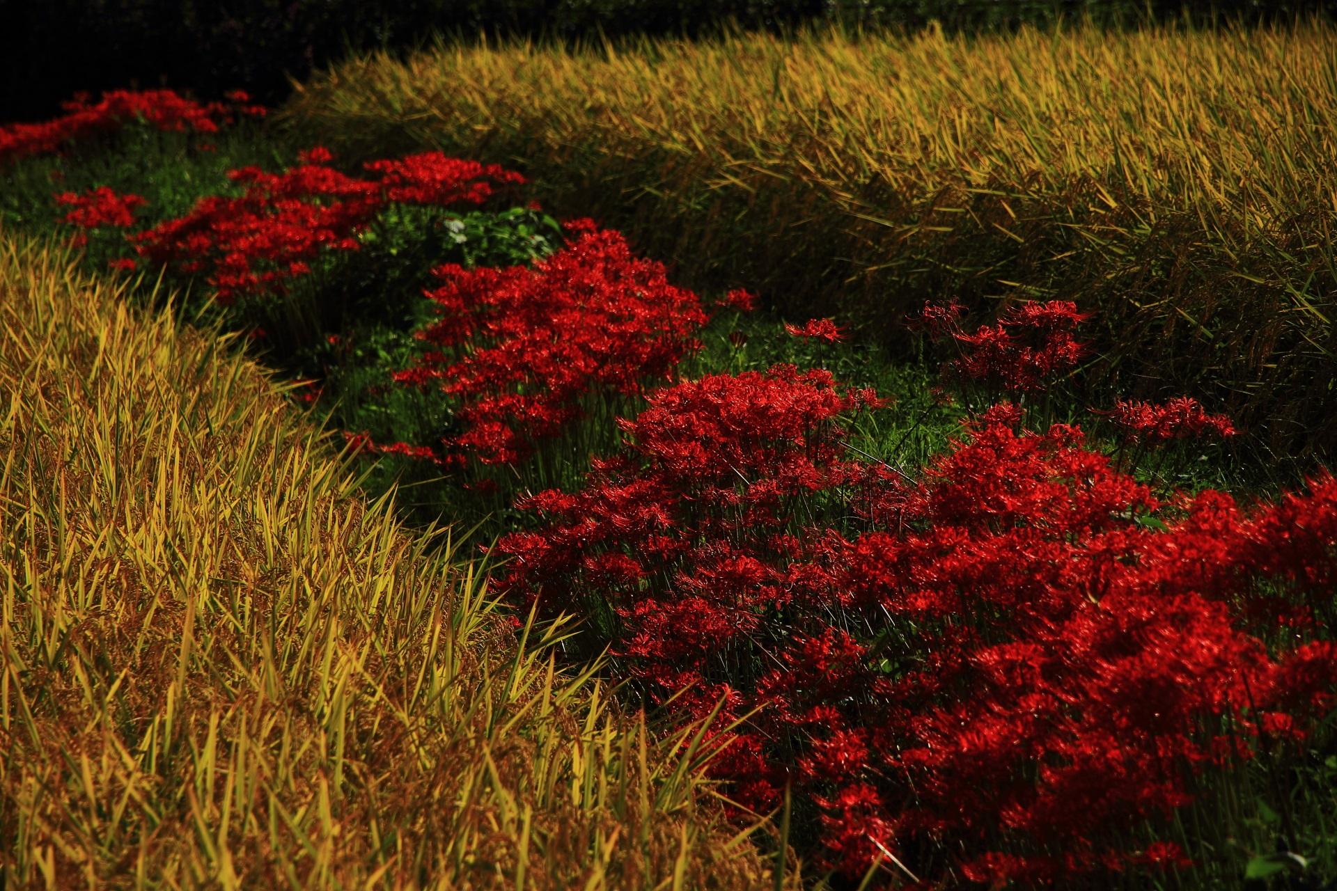 嵯峨野の彼岸花の群生