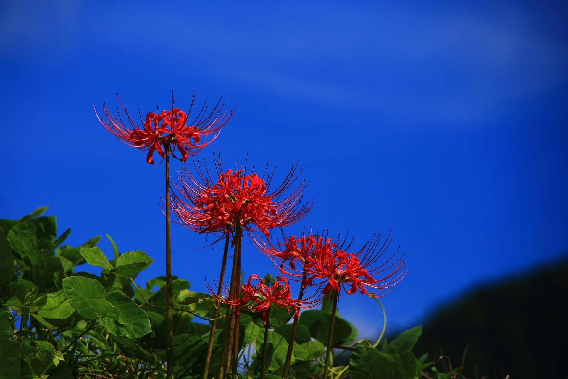 大原の青空を背景にした赤い彼岸花