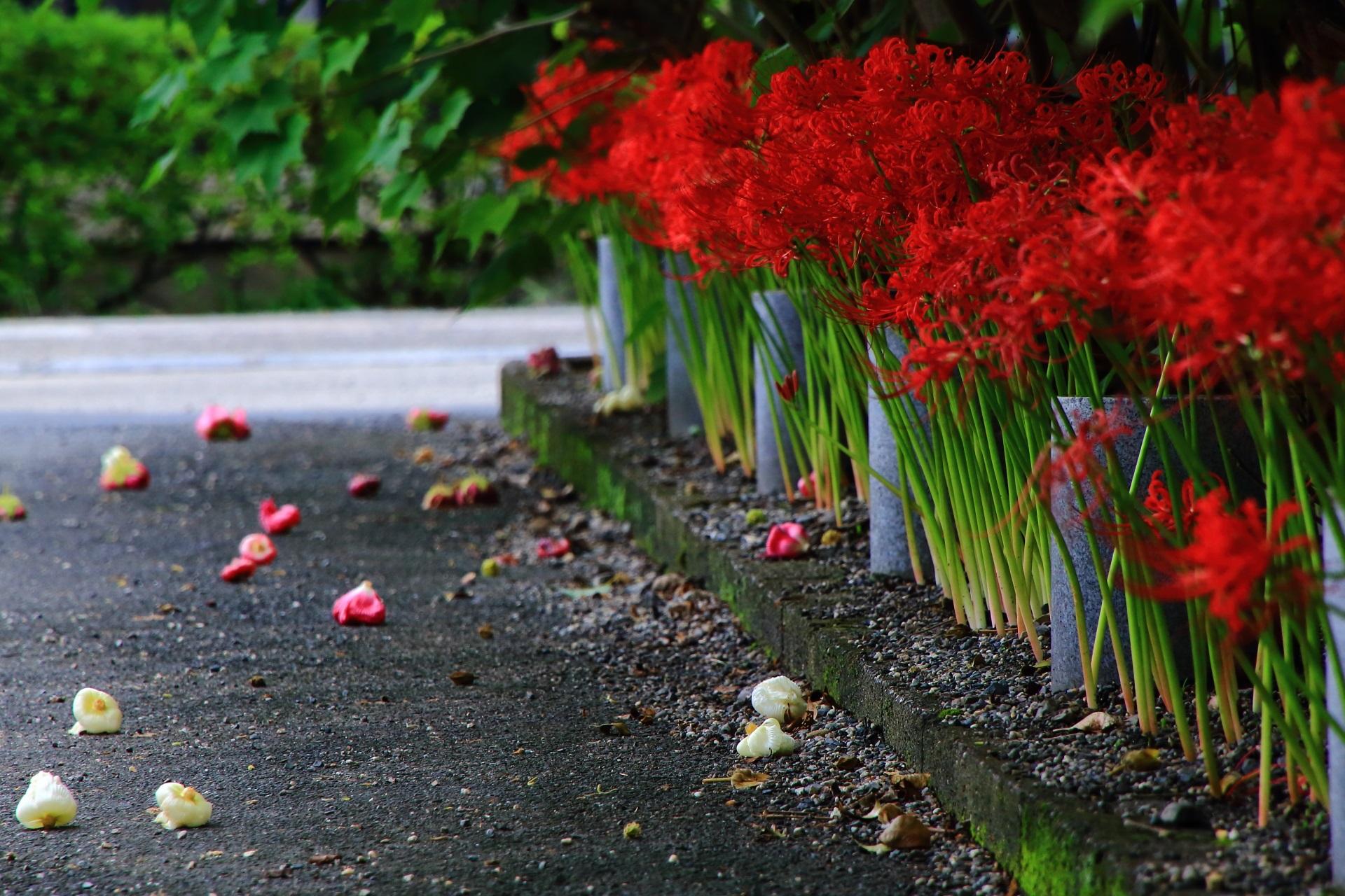 妙蓮寺の丸くなって散る芙蓉の花と彼岸花