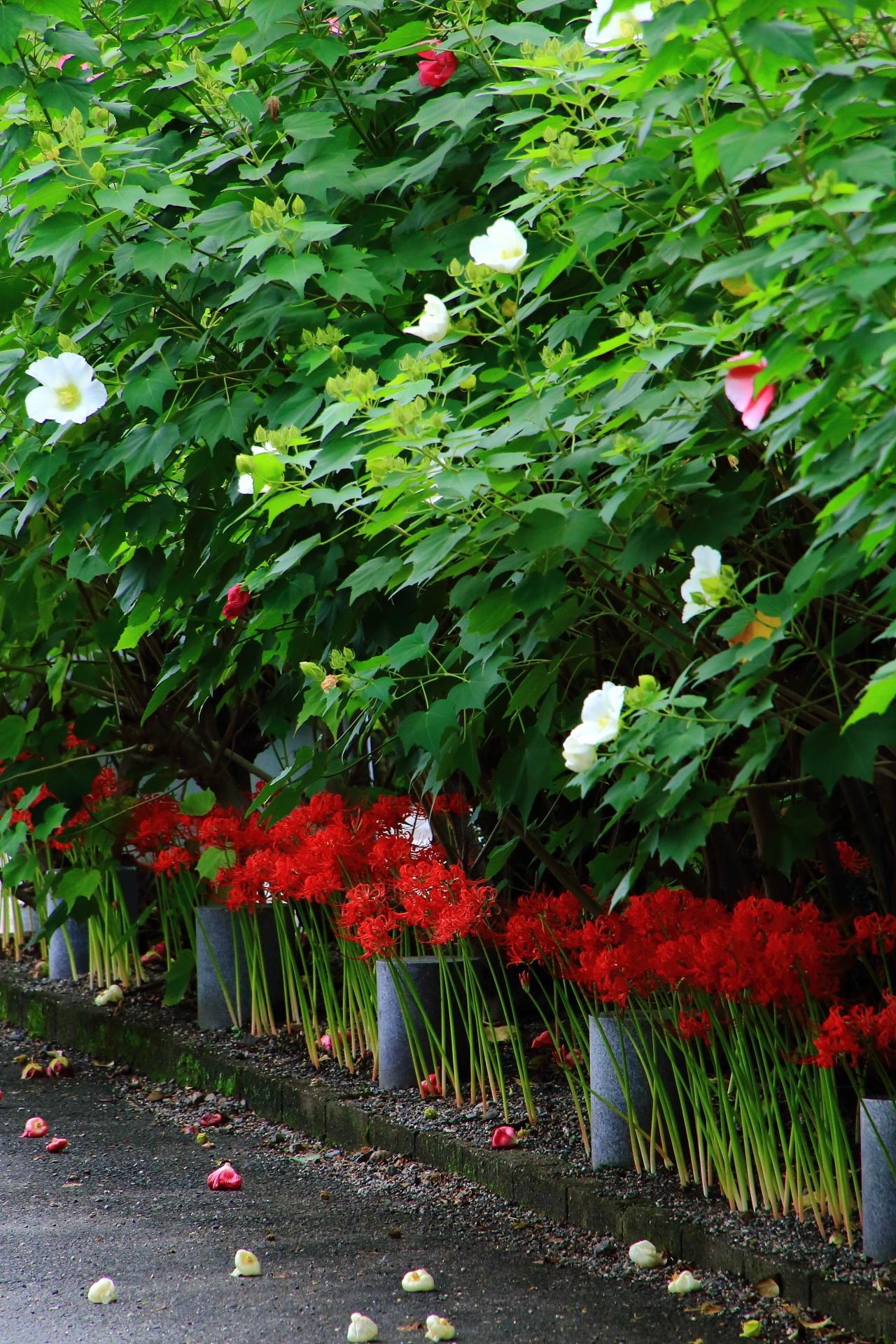 妙蓮寺の遠目から眺めた芙蓉の花と彼岸花のコラボレーション