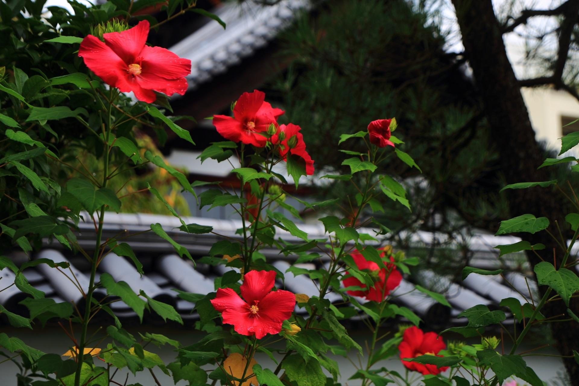 妙蓮寺の鮮やかで妖艶な赤い芙蓉の花