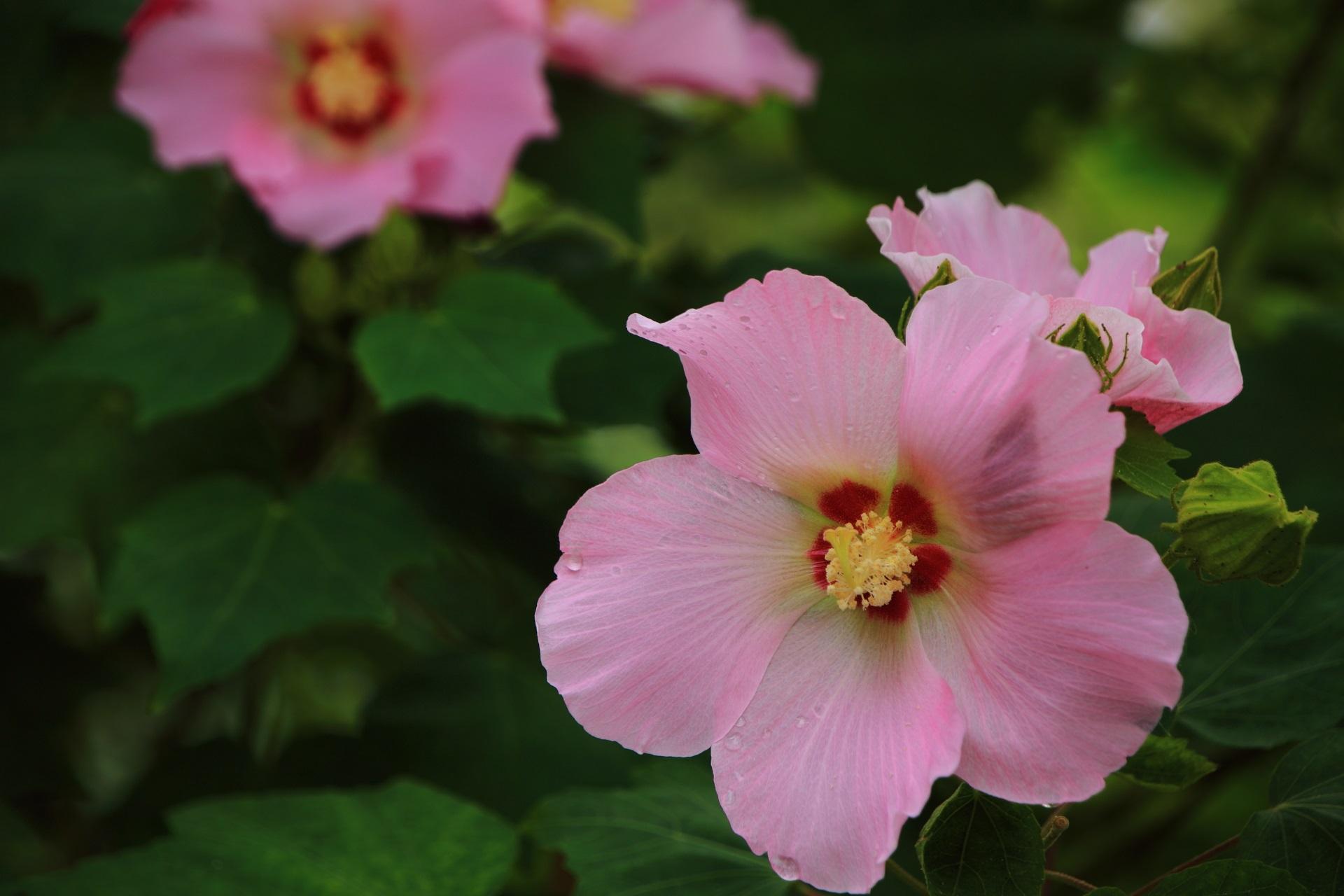 妙蓮寺のたくさんの華やかな芙蓉の花
