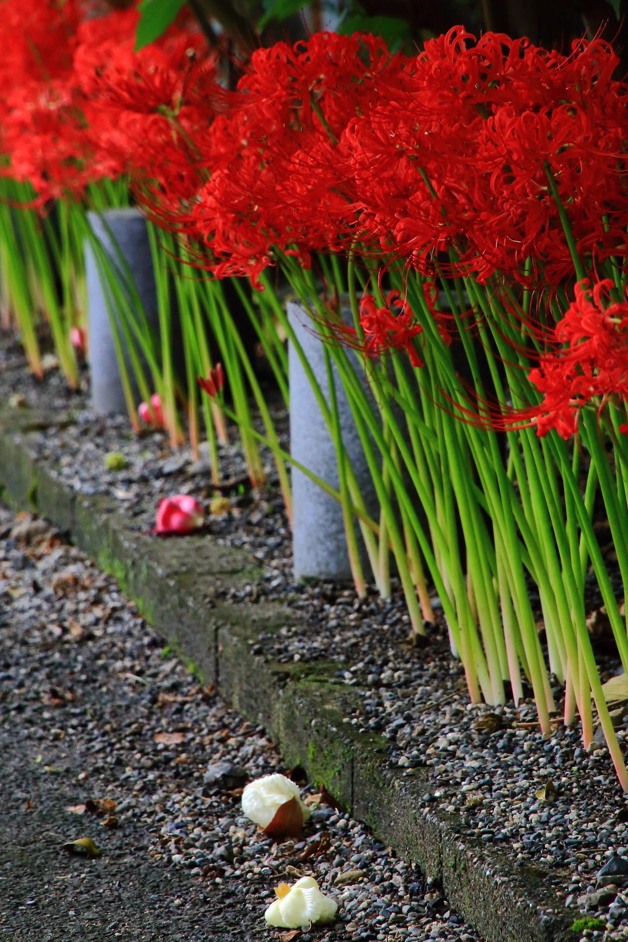 妙蓮寺の散った芙蓉の花と燃えるような赤い彼岸花