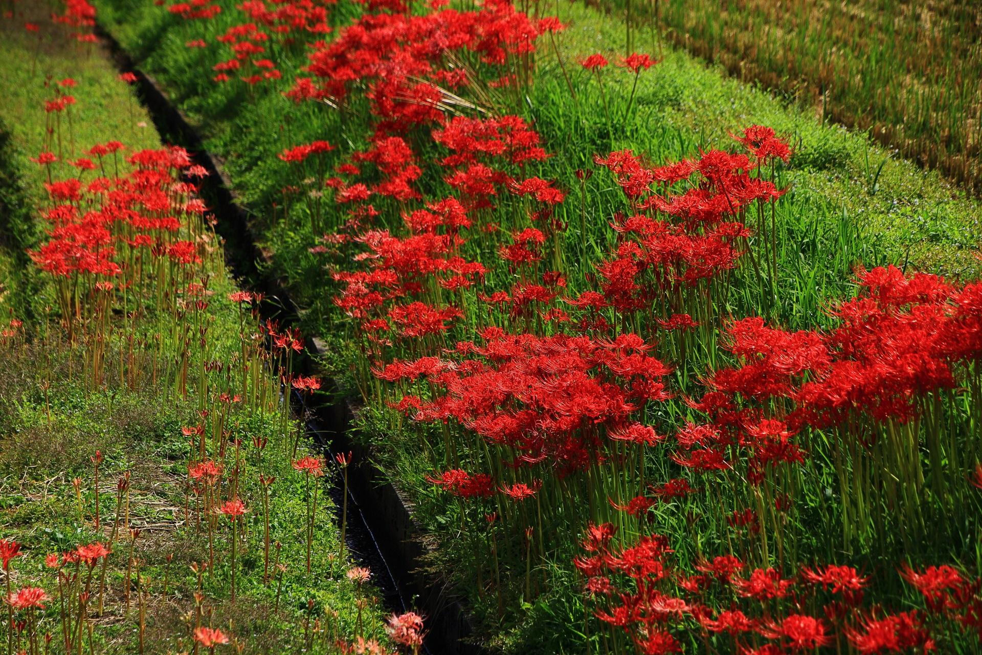 彼岸花の赤と畑(草)の緑の綺麗なコントラスト