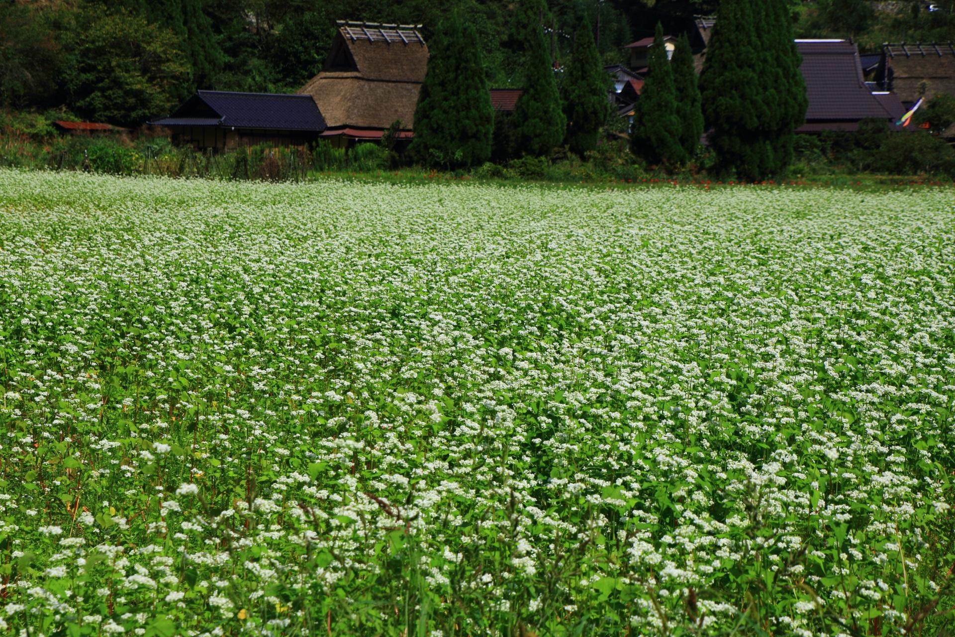 緑の上で華やかに揺らぐ白いそばの花
