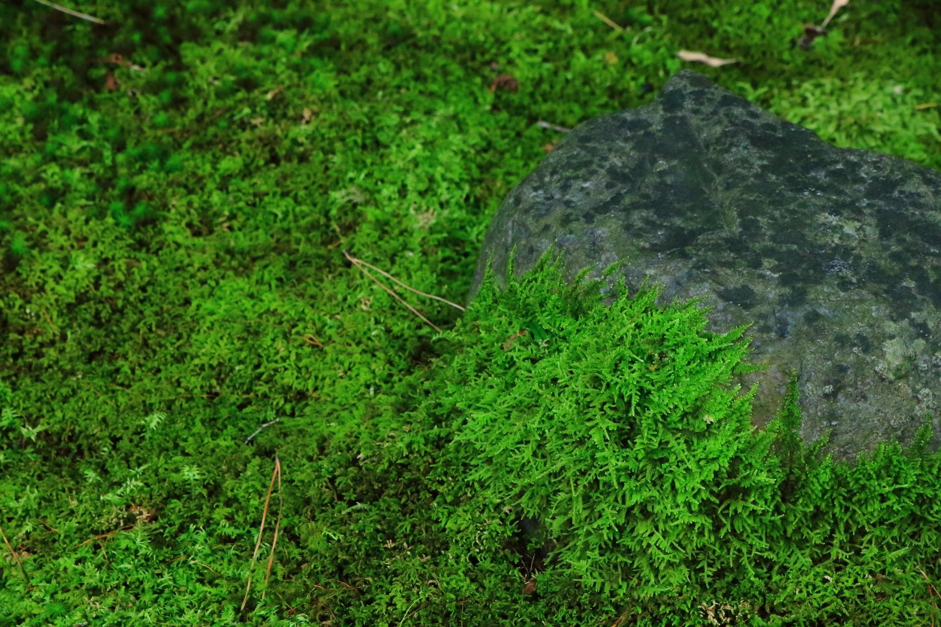 雨上がりの美しい苔