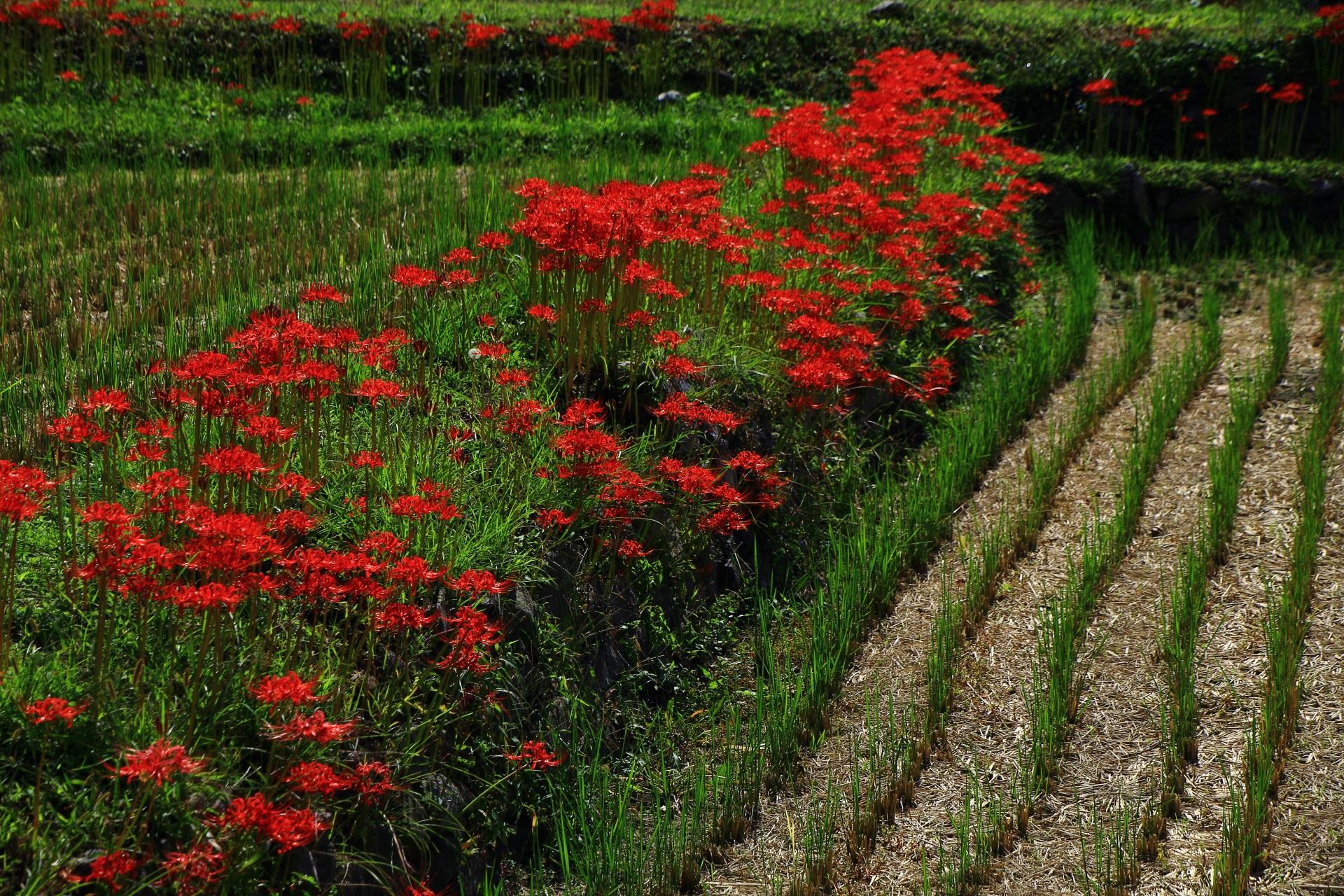 田園に咲く球根に毒のある彼岸花