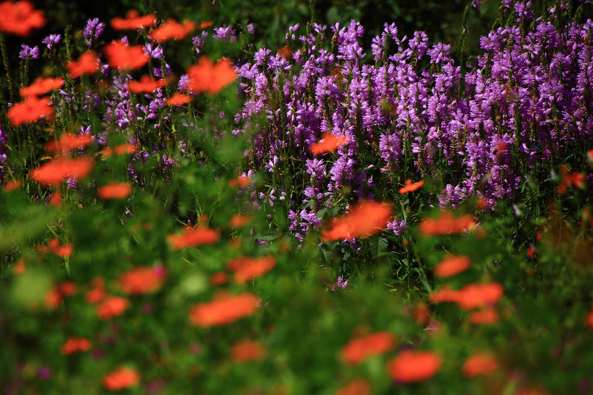 かやぶきの里の紫の花とコスモス
