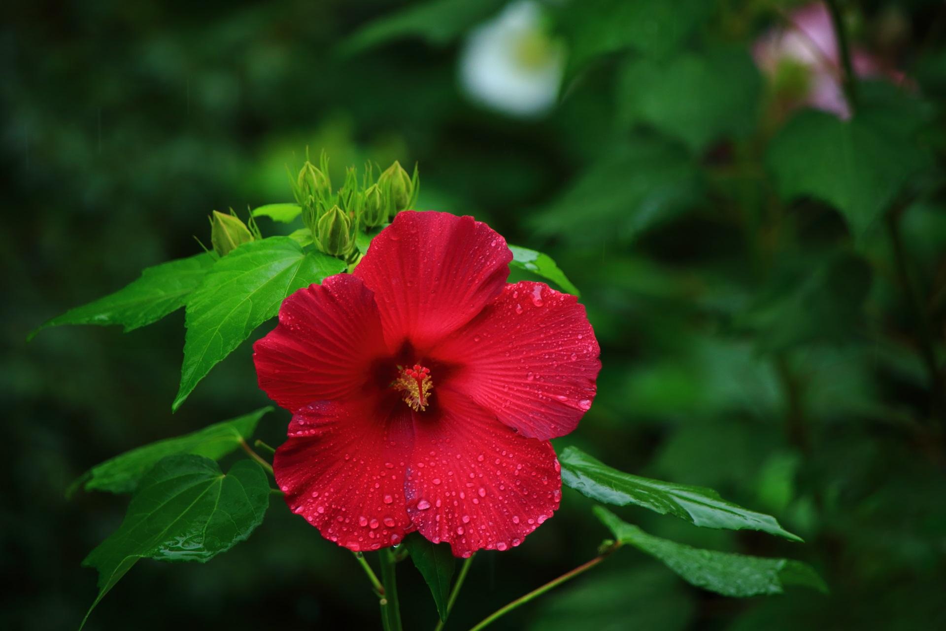 圧倒的な存在感を放つ鮮烈な色合いの芙蓉の花