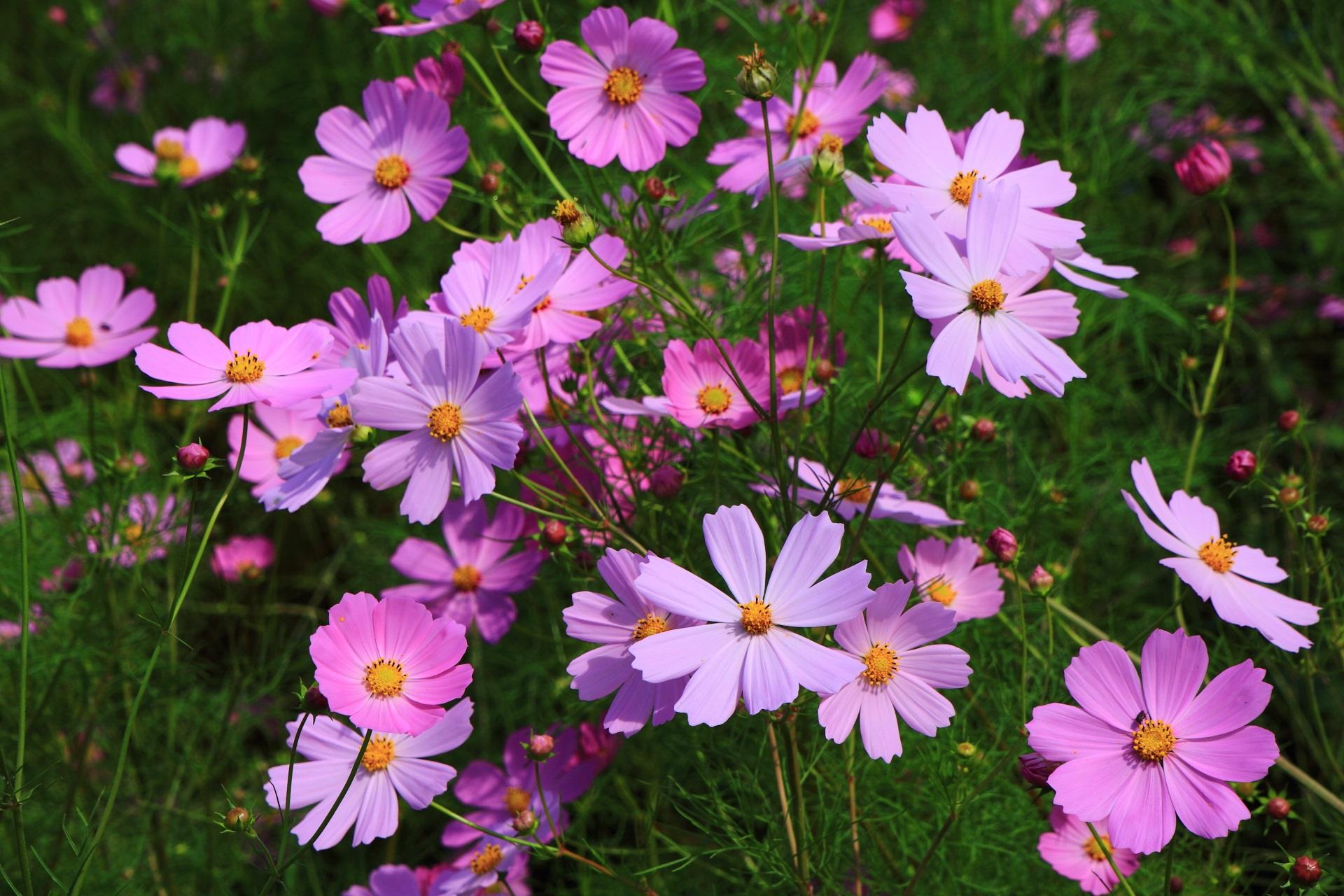 大原の里の元気いっぱいに咲き誇るコスモスの花