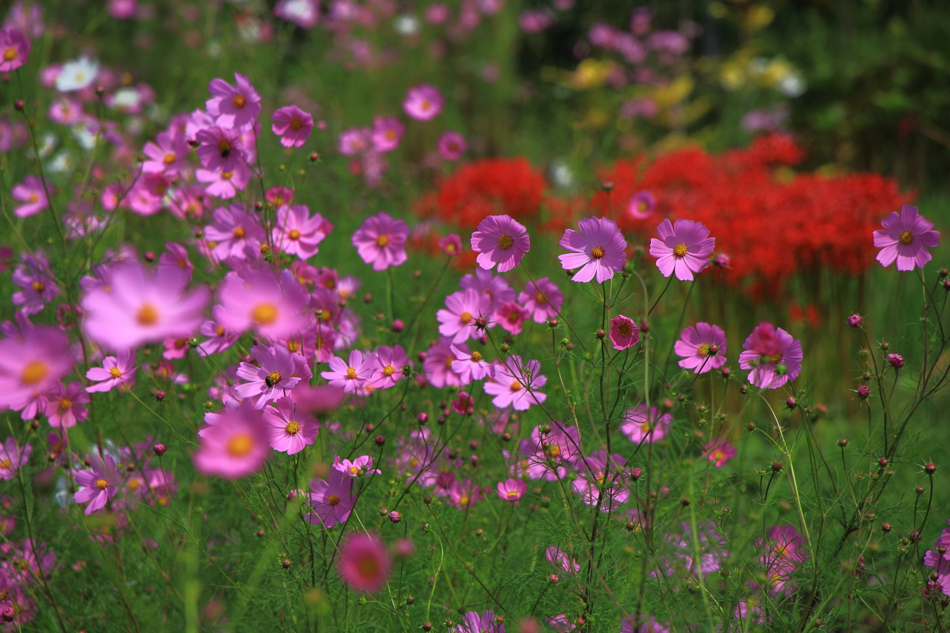 大原の溢れ出す可愛いすぎるコスモスの花