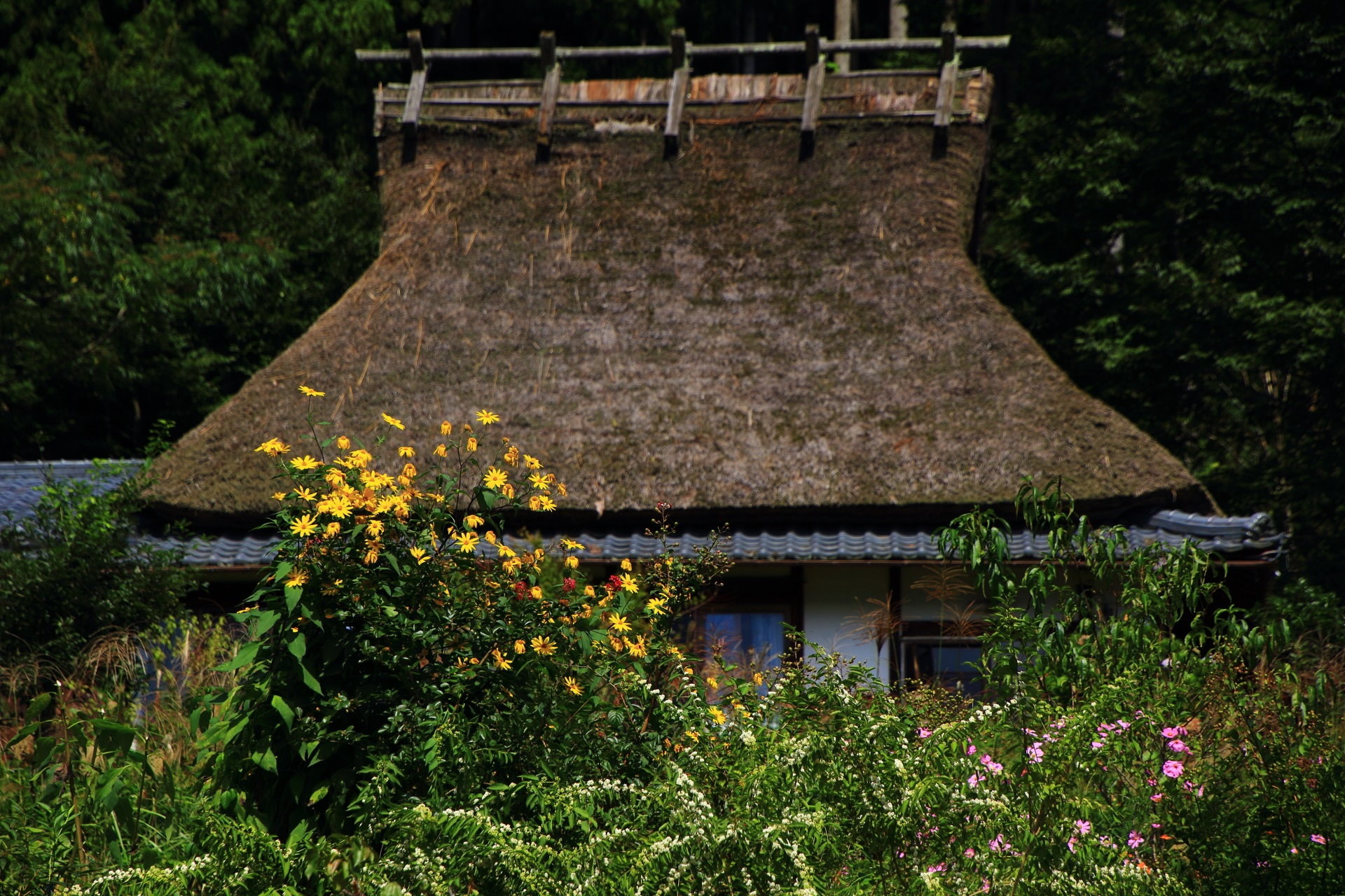 かやぶき屋根の家と菊のような黄色い花