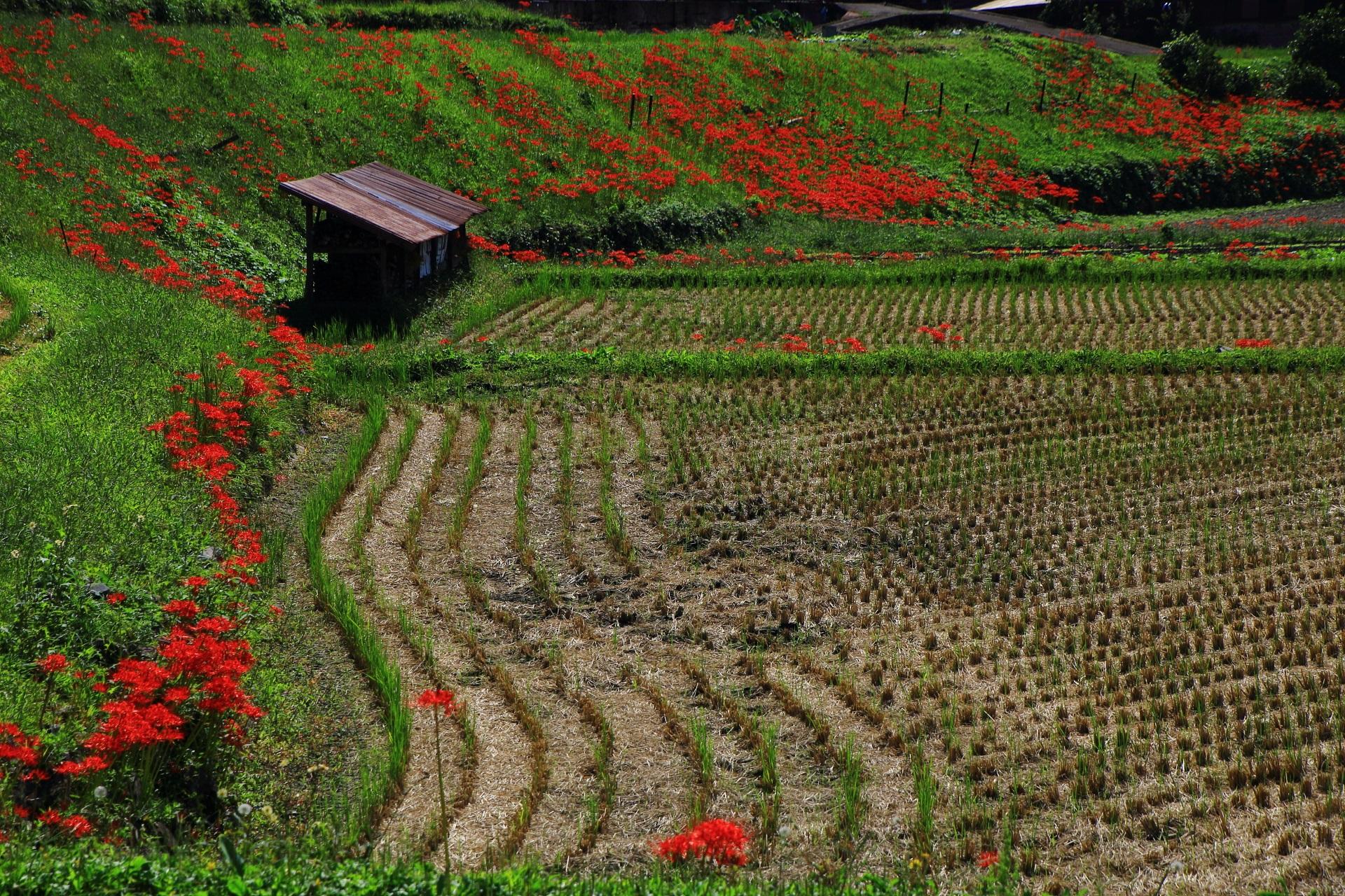 大原の里の長閑な田園に広がる赤い彼岸花