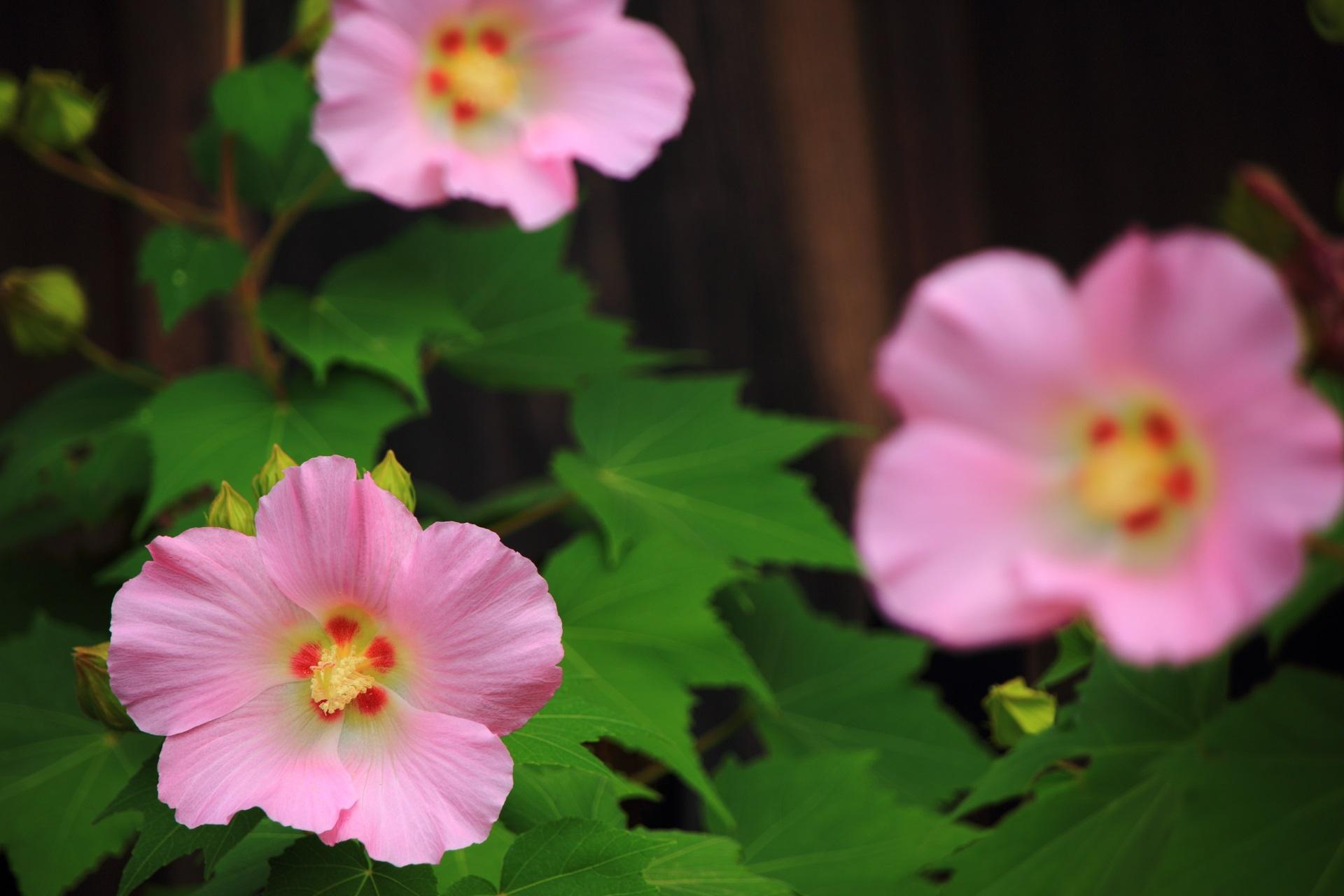 可愛いピンクの芙蓉の花