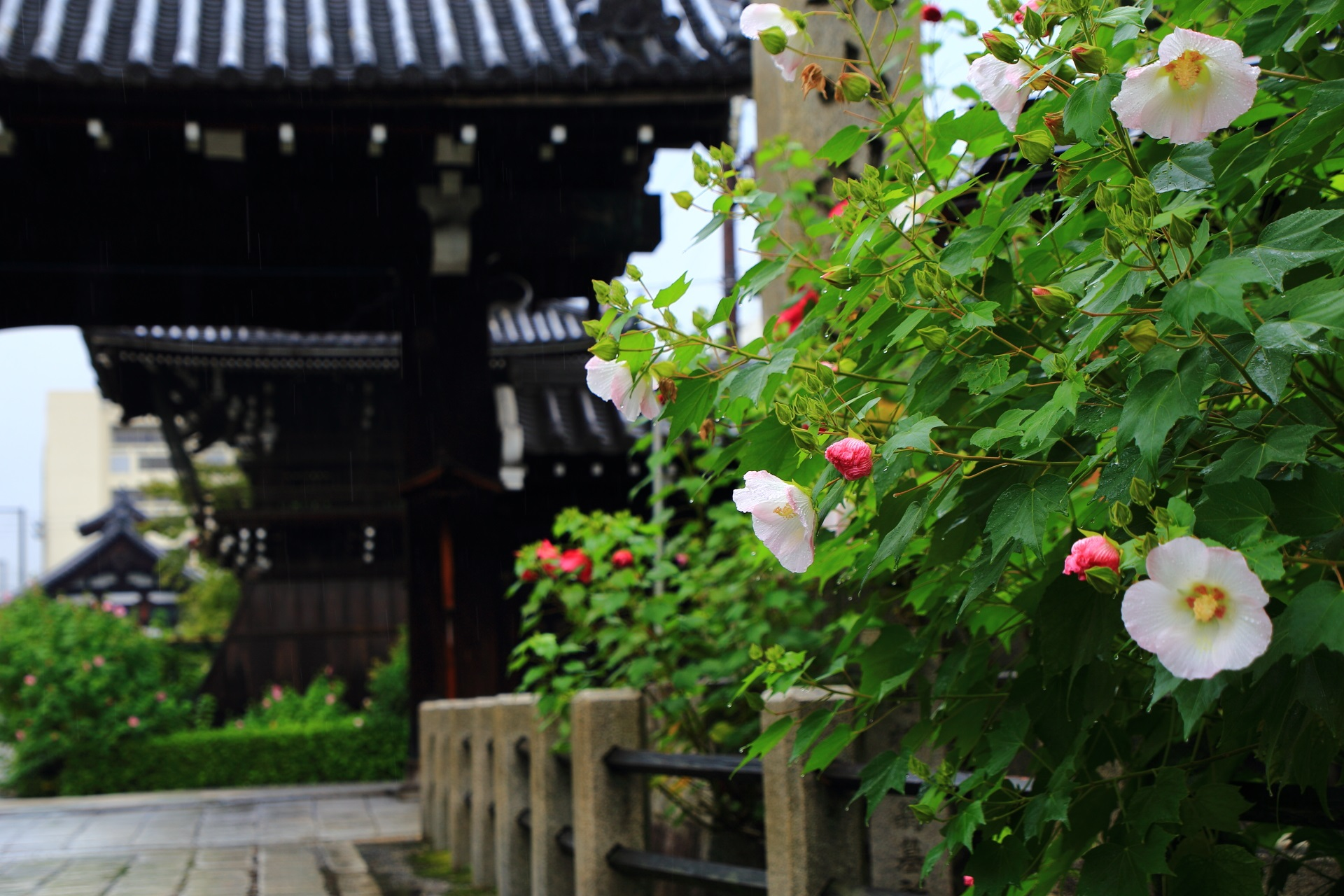 妙蓮寺の山門前の芙蓉の花