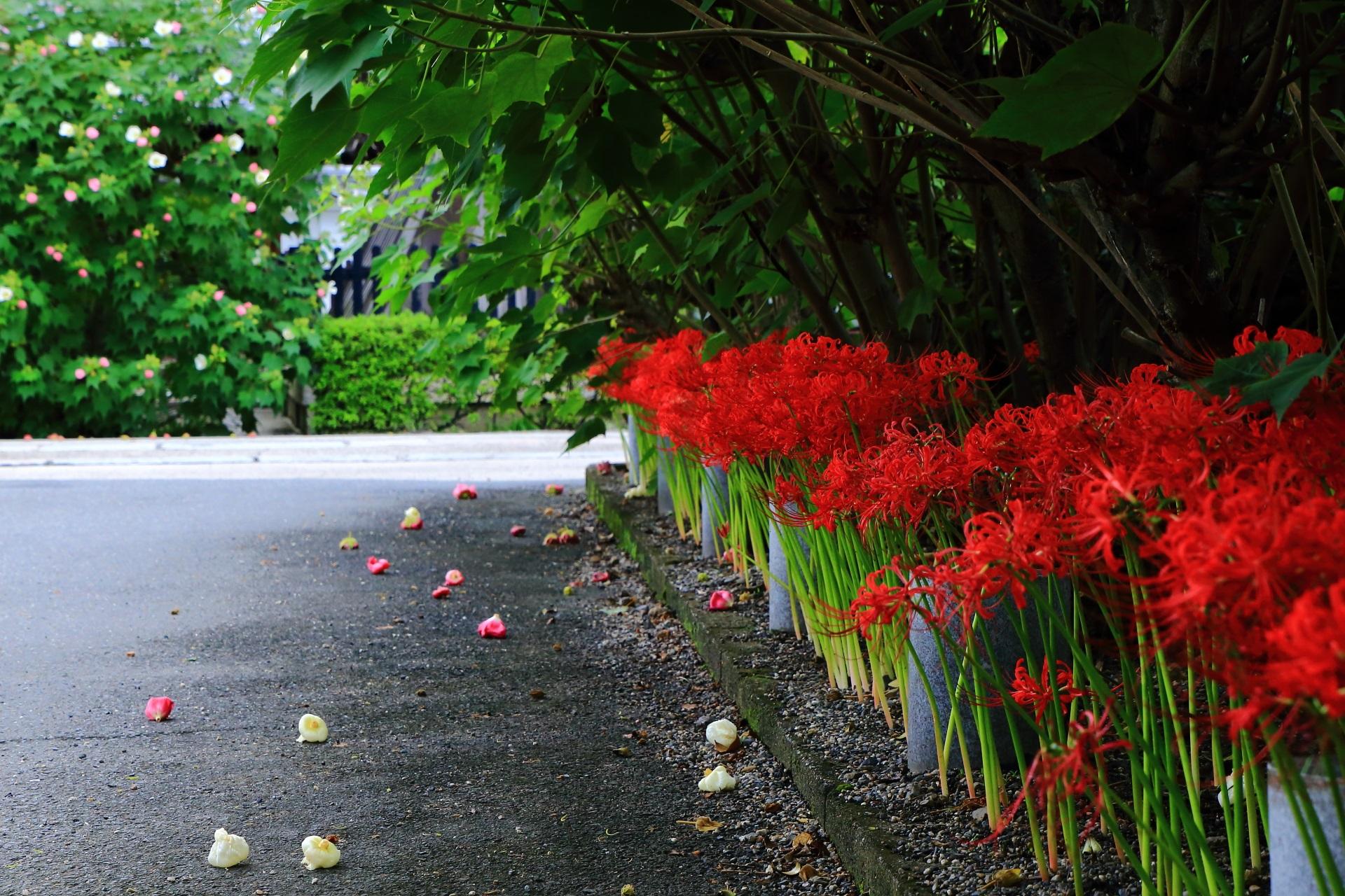 妙蓮寺の彼岸花と奥に見える鐘楼横の扶養の花