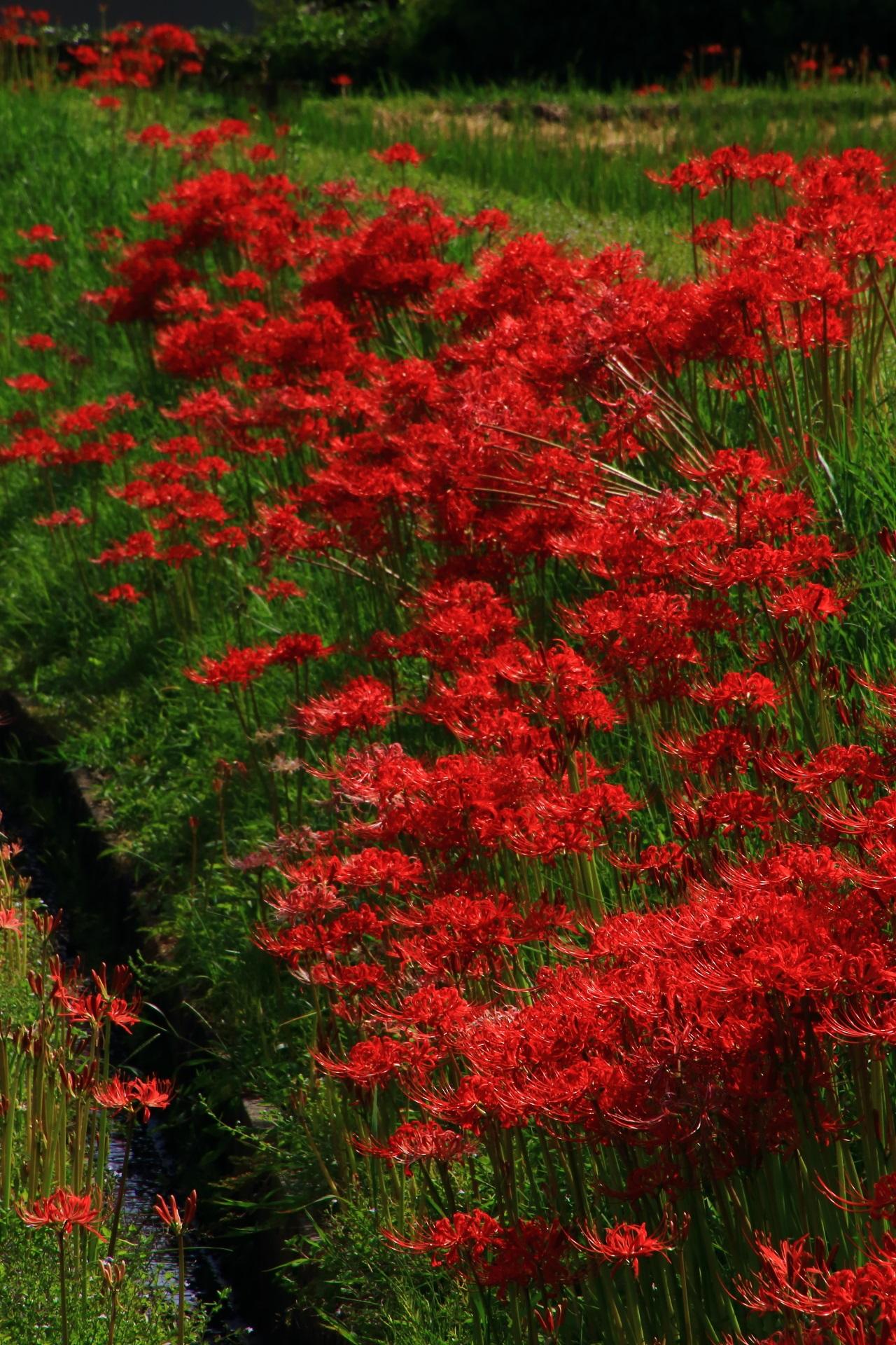 Red cluster amaryllis in Sagano, Kyoto,Japan
