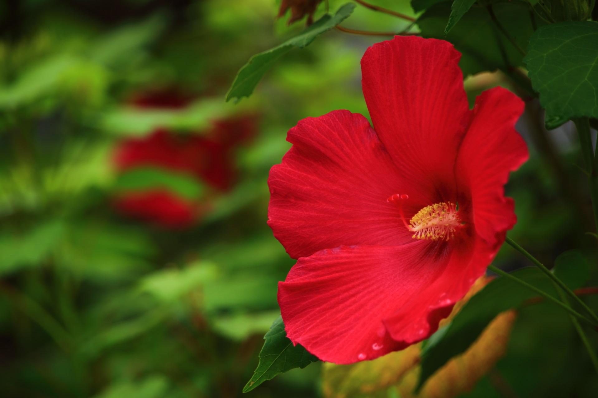 妙蓮寺の鮮やかな赤色の芙蓉の花