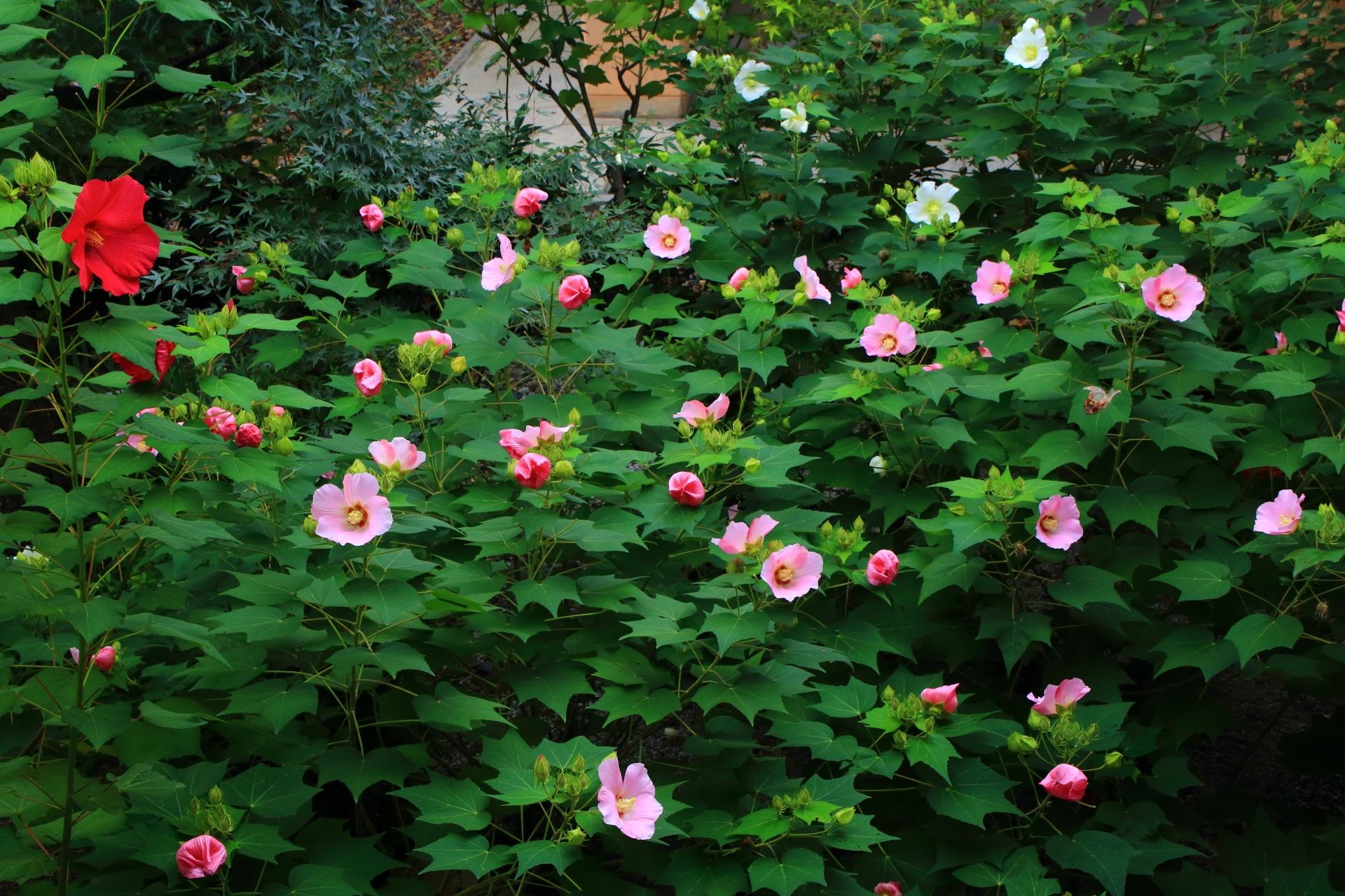 妙蓮寺のまだまだ見ごろの芙蓉の花