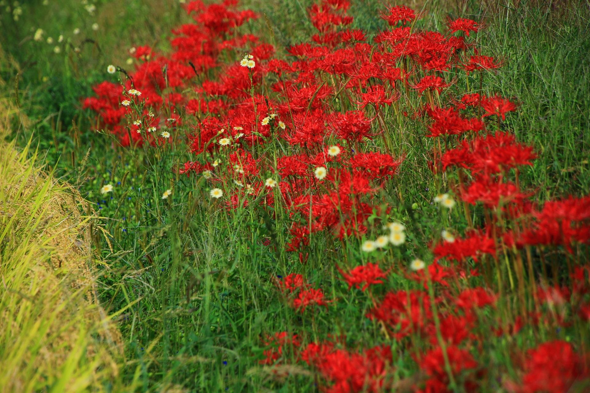 高野川近くの田園の彼岸花と可愛い花