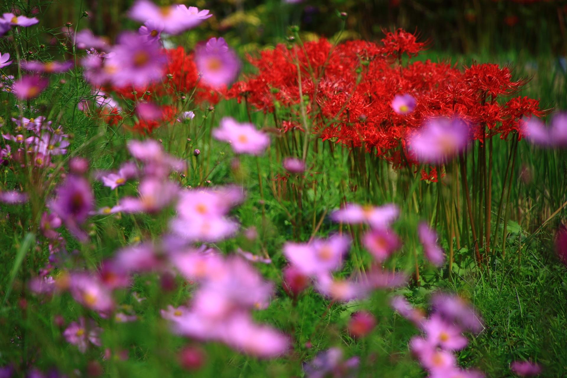 大原の彼岸花とコスモスの華やかな初秋の彩り