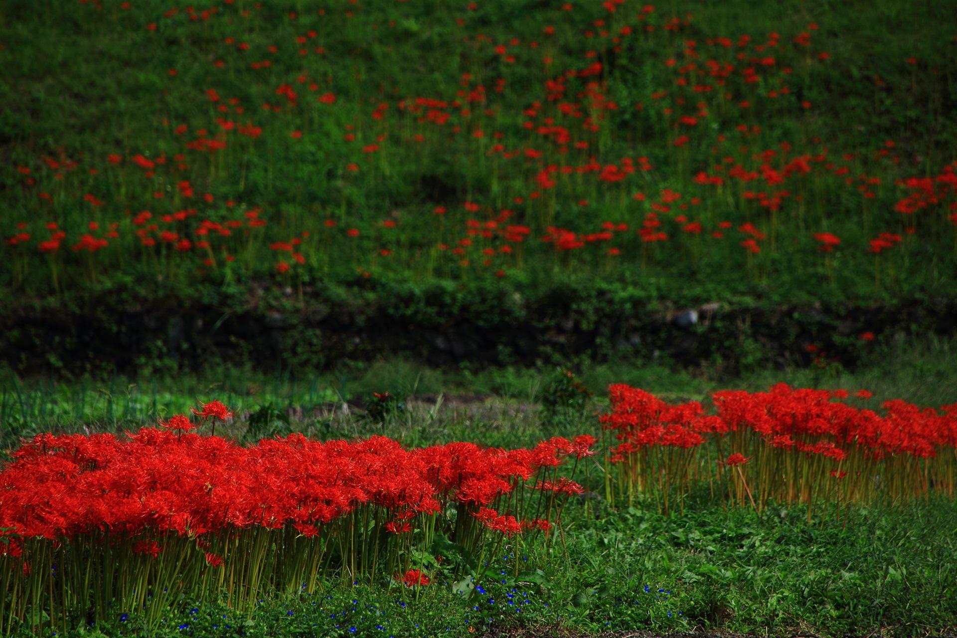 畦道に密集して見事に咲く赤い彼岸花