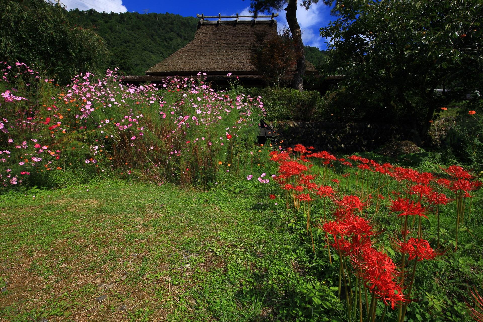 彼岸花やコスモスなどの美山町の初秋の華やかな彩り