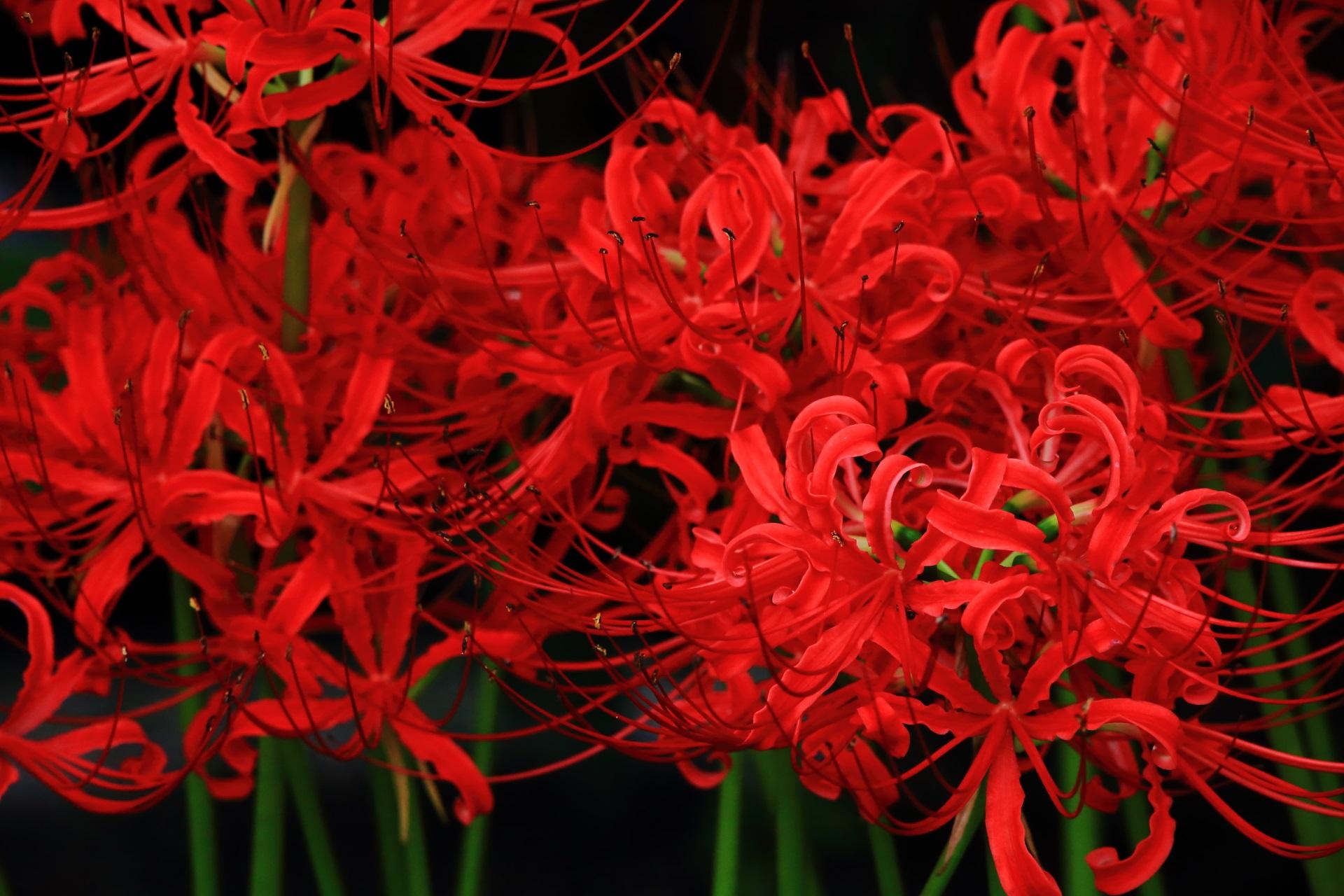 妙蓮寺の情熱的でもあり妖艶でもある真っ赤な彼岸花