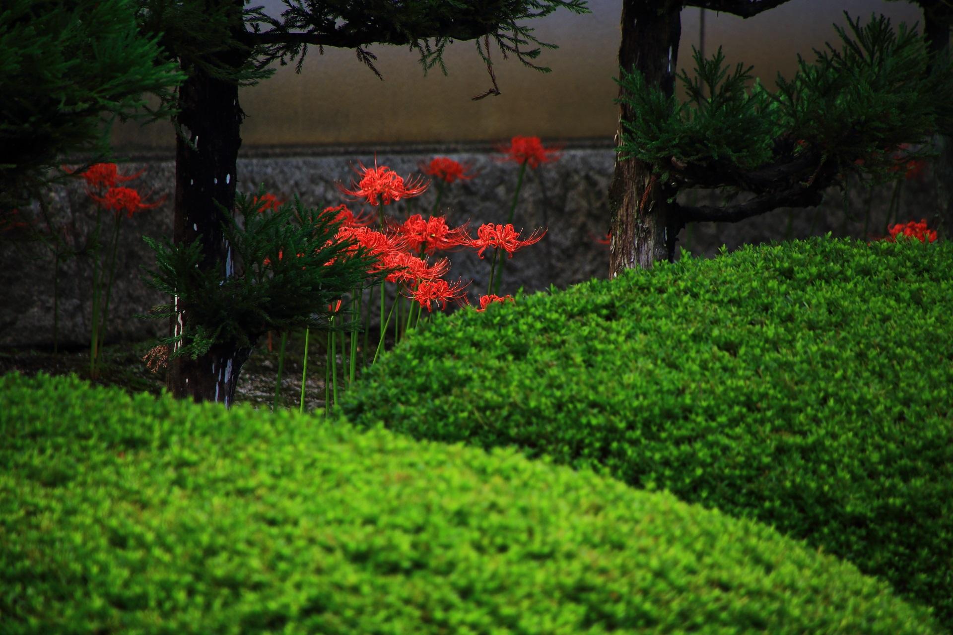 サツキの緑と彼岸花の赤の綺麗なコントラスト