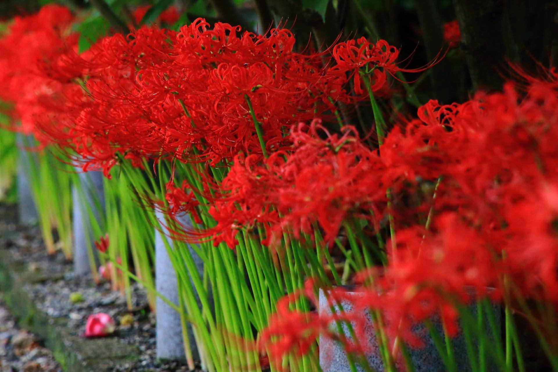 華やかな芙蓉の花とは雰囲気が違う鮮やかな彼岸花
