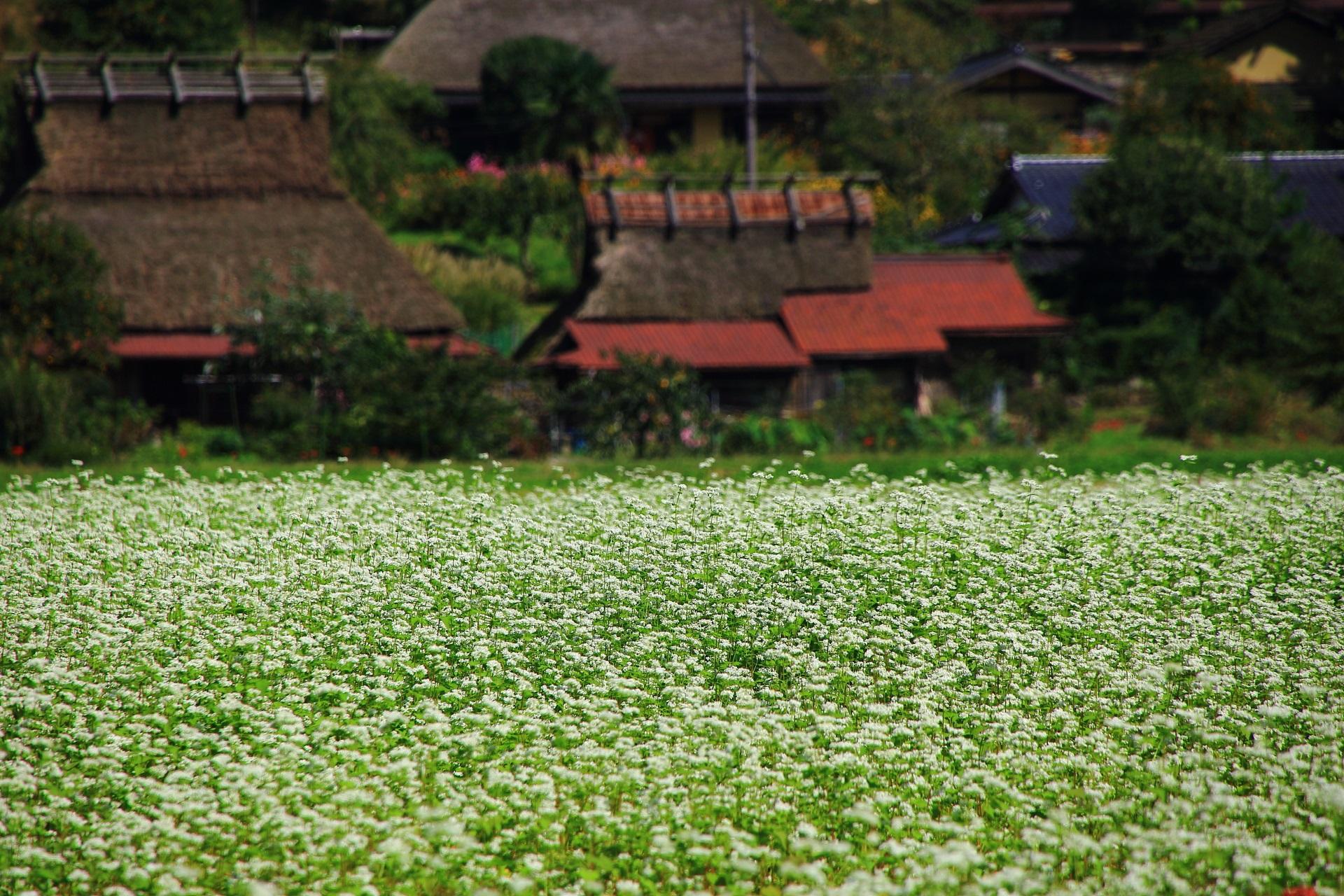 白い蕎麦の花にそまった美山町のかやぶきの里