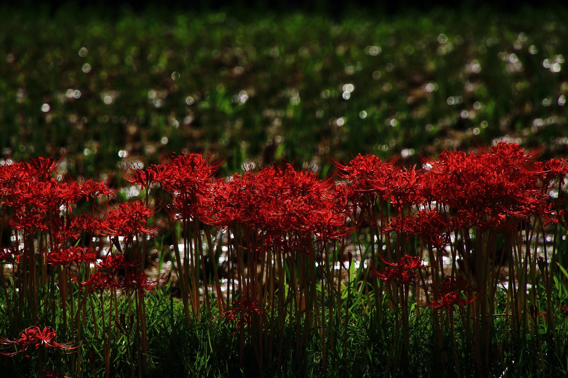 嵯峨野の輝く田んぼと赤い彼岸花