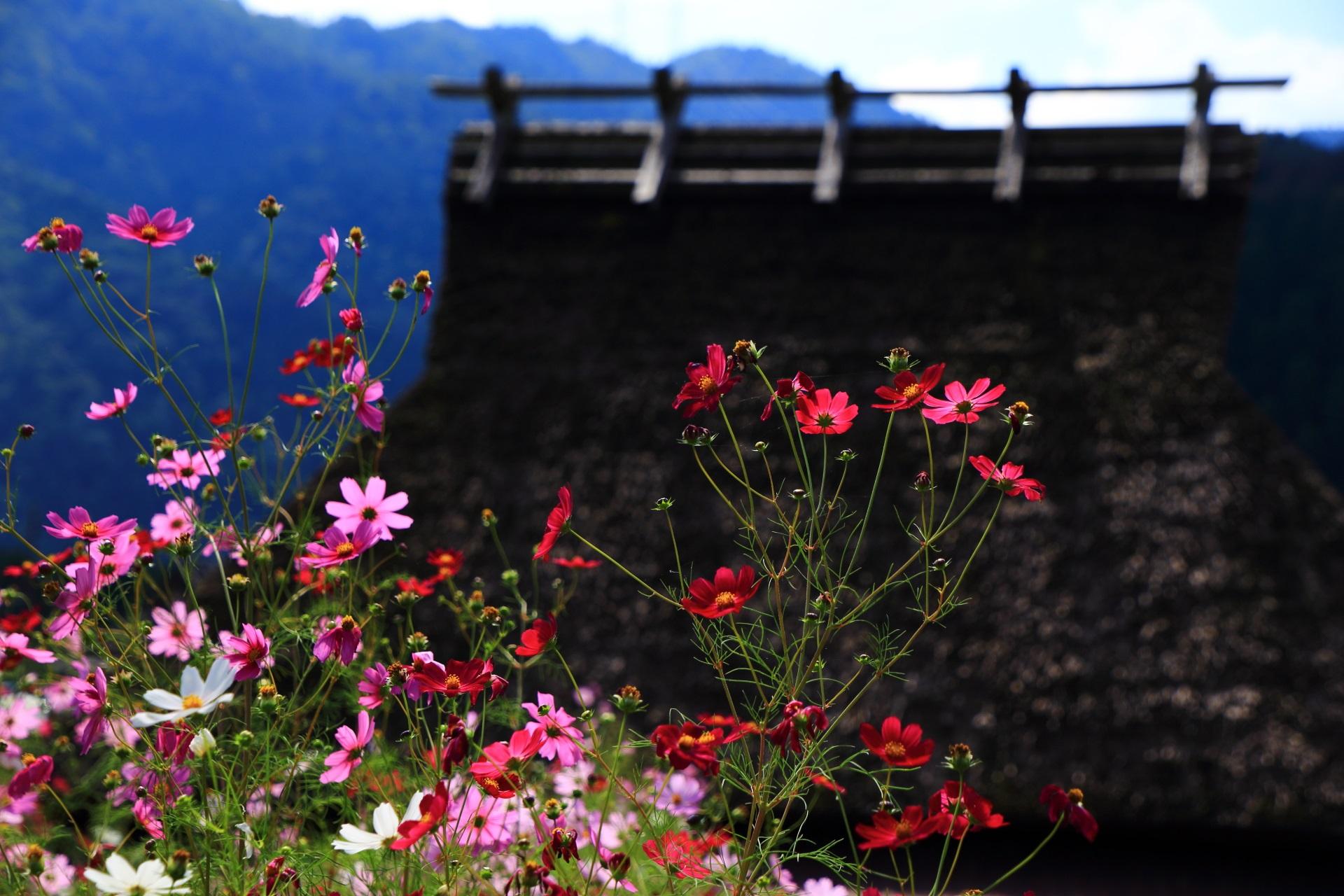 萱葺屋根や山を背景にした絵になる華やかなコスモス