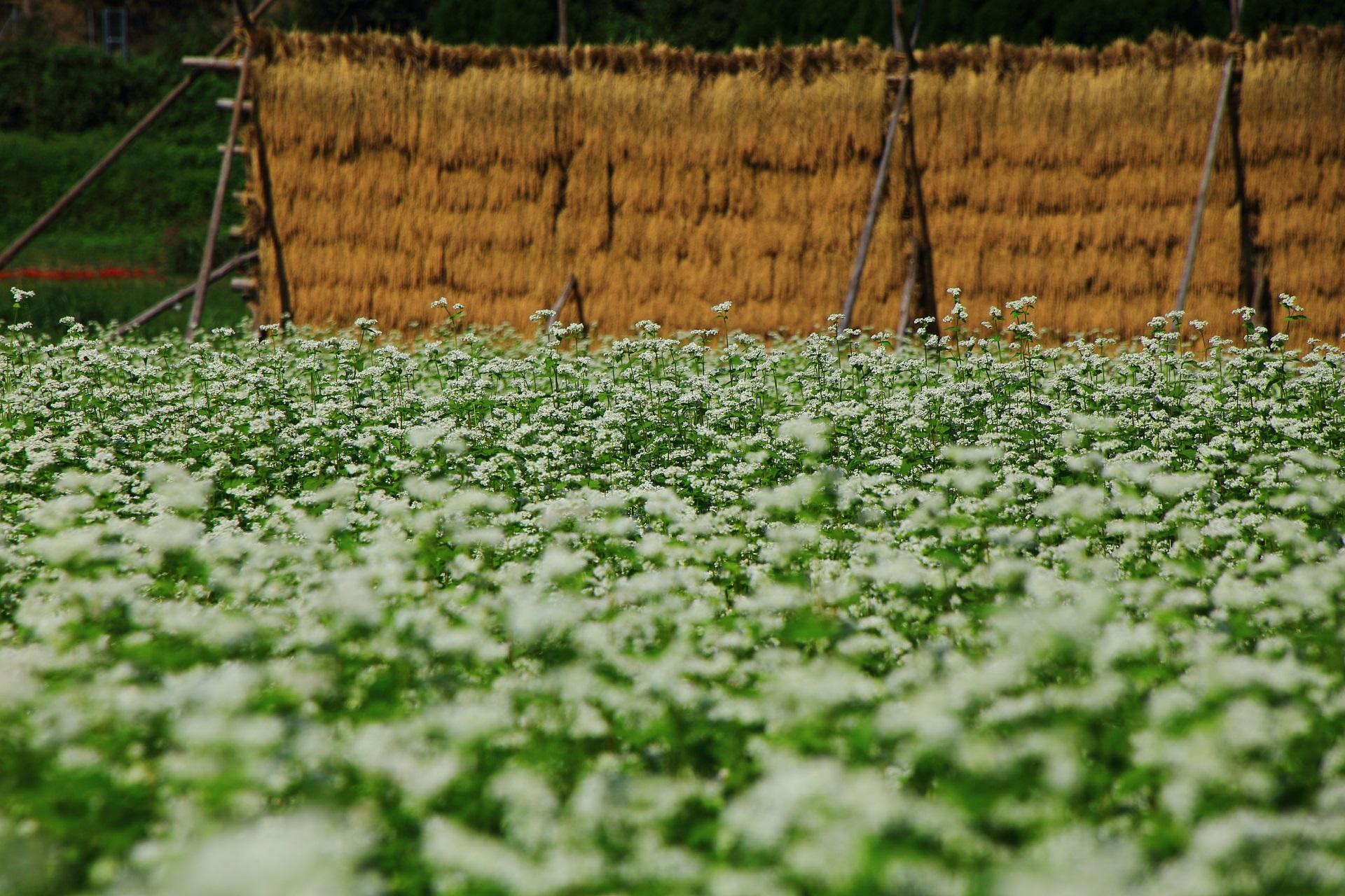 一輪一輪は繊細で可愛い蕎麦の花