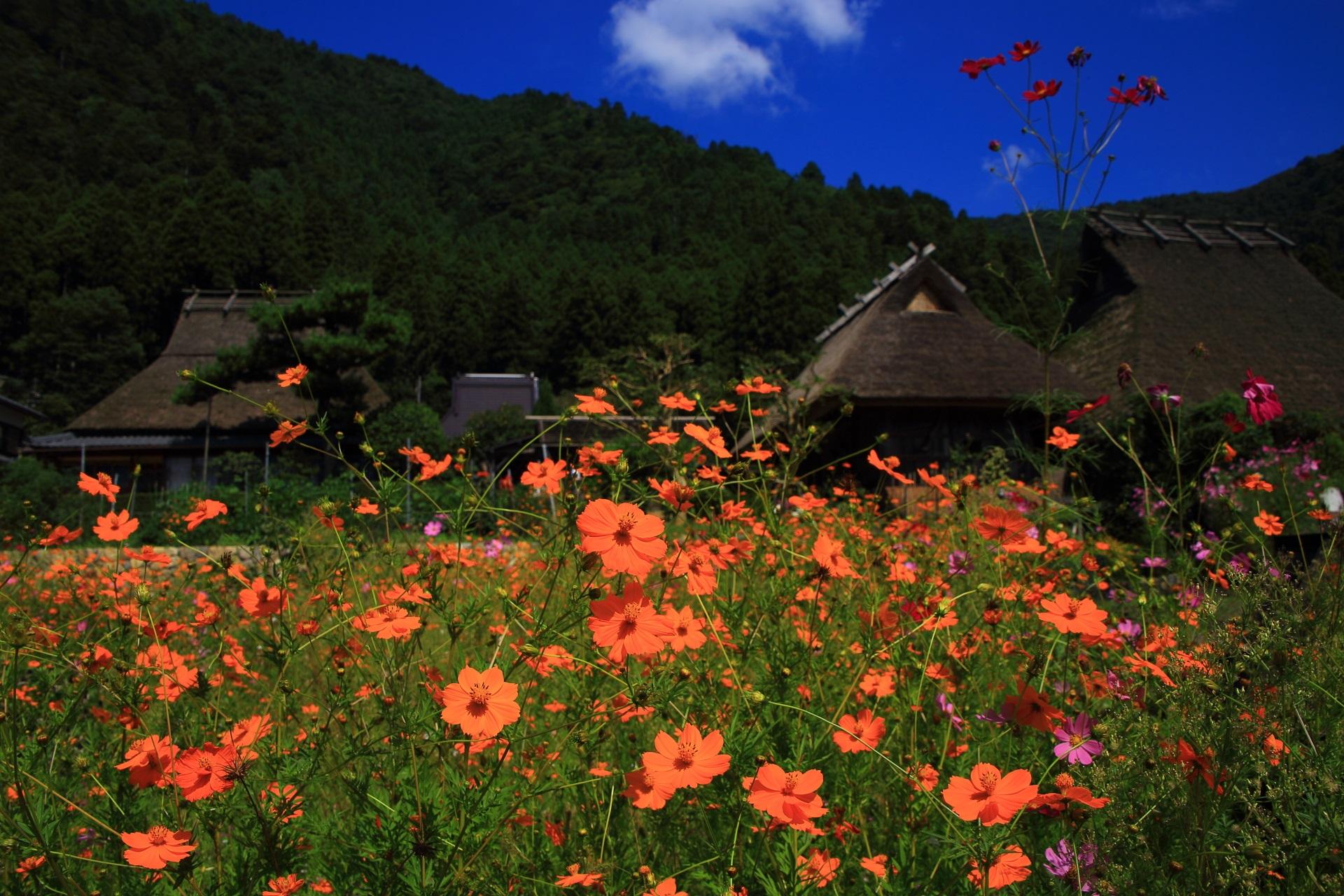 萱葺屋根(かやぶきやね)の家を背景にした鮮やかなオレンジ色のコスモス